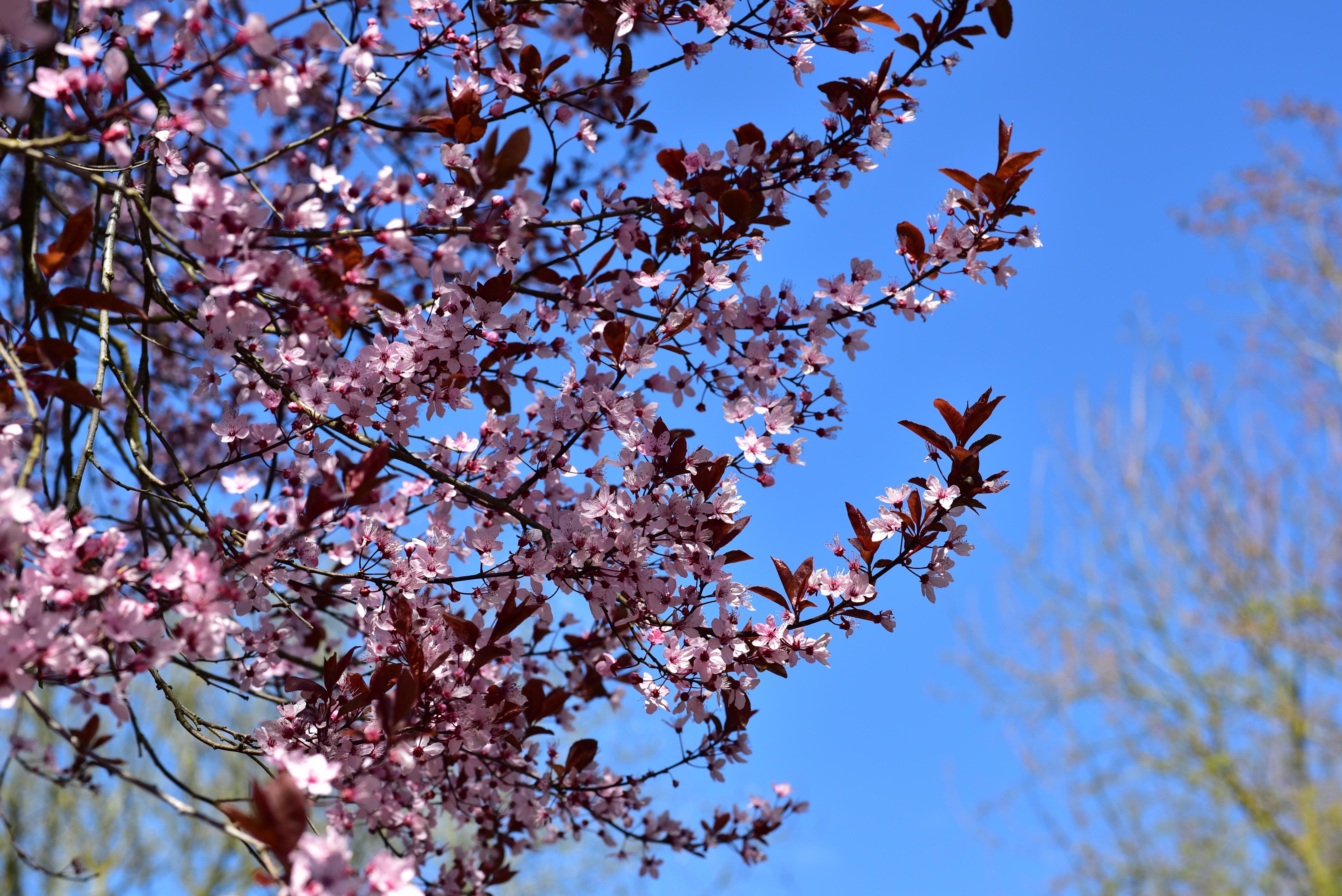 Floraison cerisier japon les fleurs de cerisier de floraison blanches et roses jaillissent - Greffe du cerisier au printemps ...