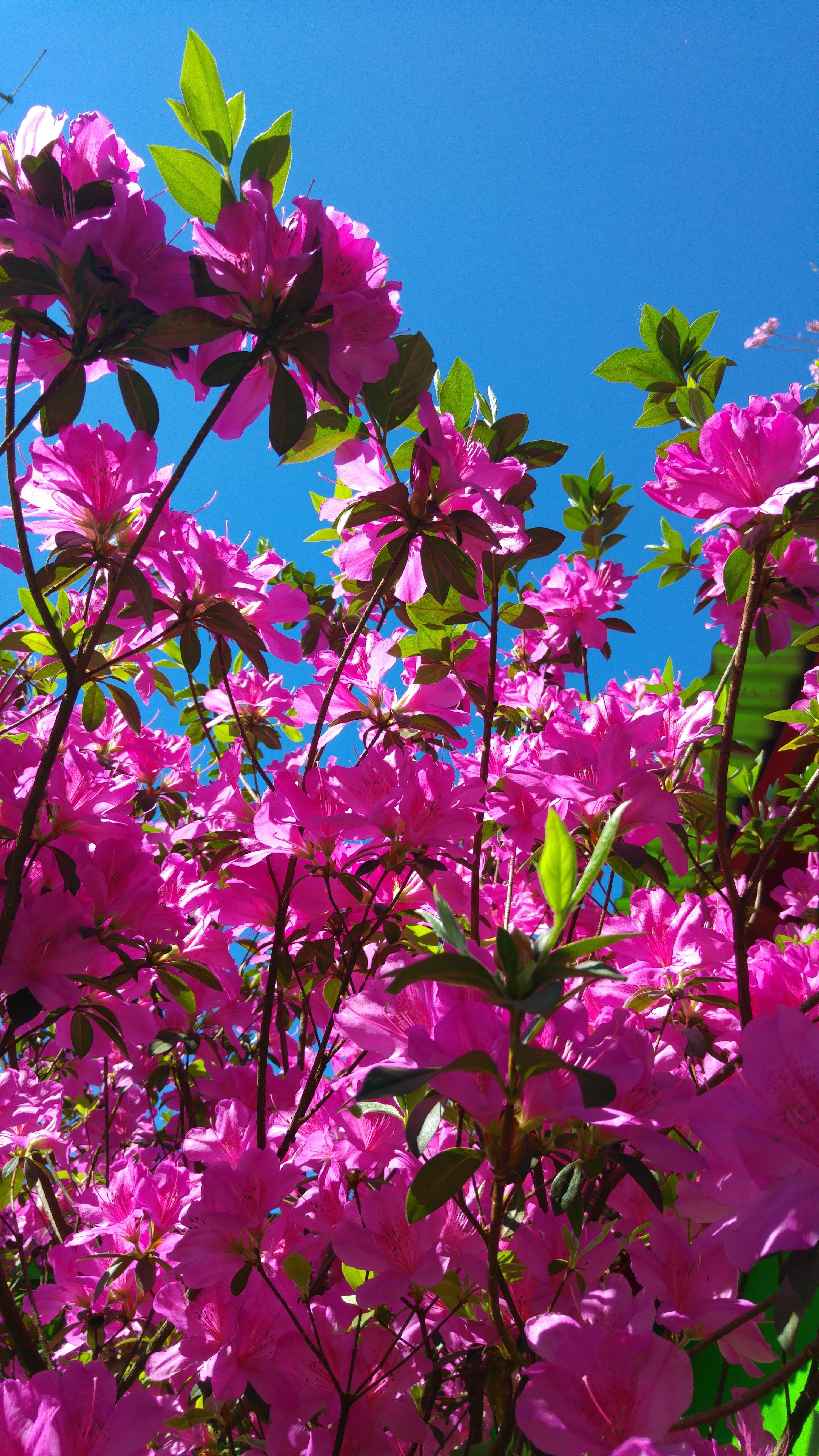 Fotos Gratis Arbol Rama Cielo Hoja Petalo Botanica Azul Rosado Flora Flor Silvestre Arbusto Azalea Planta Floreciendo Planta Lenosa Planta De Tierra 2988x5312 548664 Imagenes Gratis Pxhere