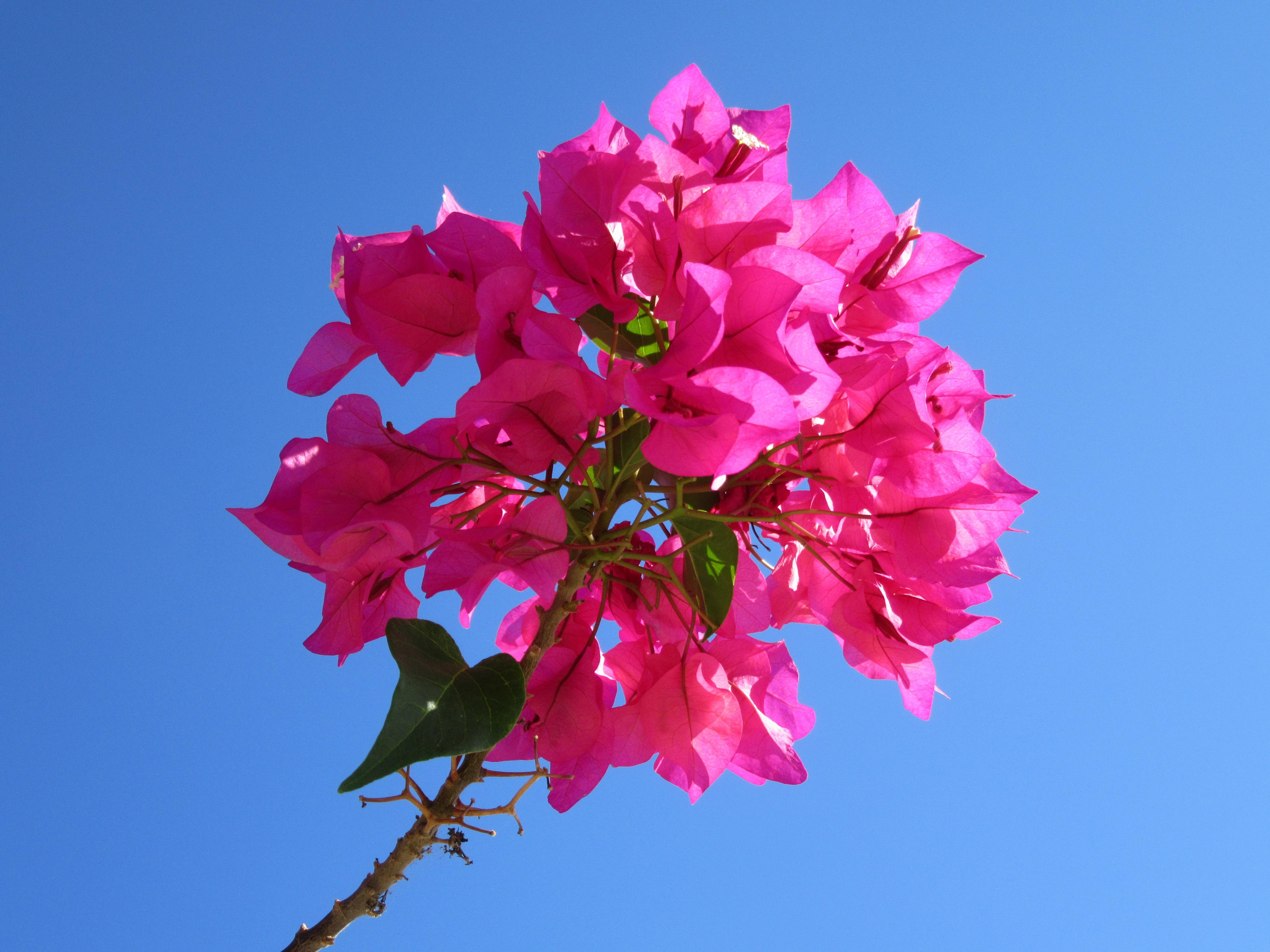 Bougainville Fleur dedans images gratuites : arbre, branche, ciel, feuille, pétale
