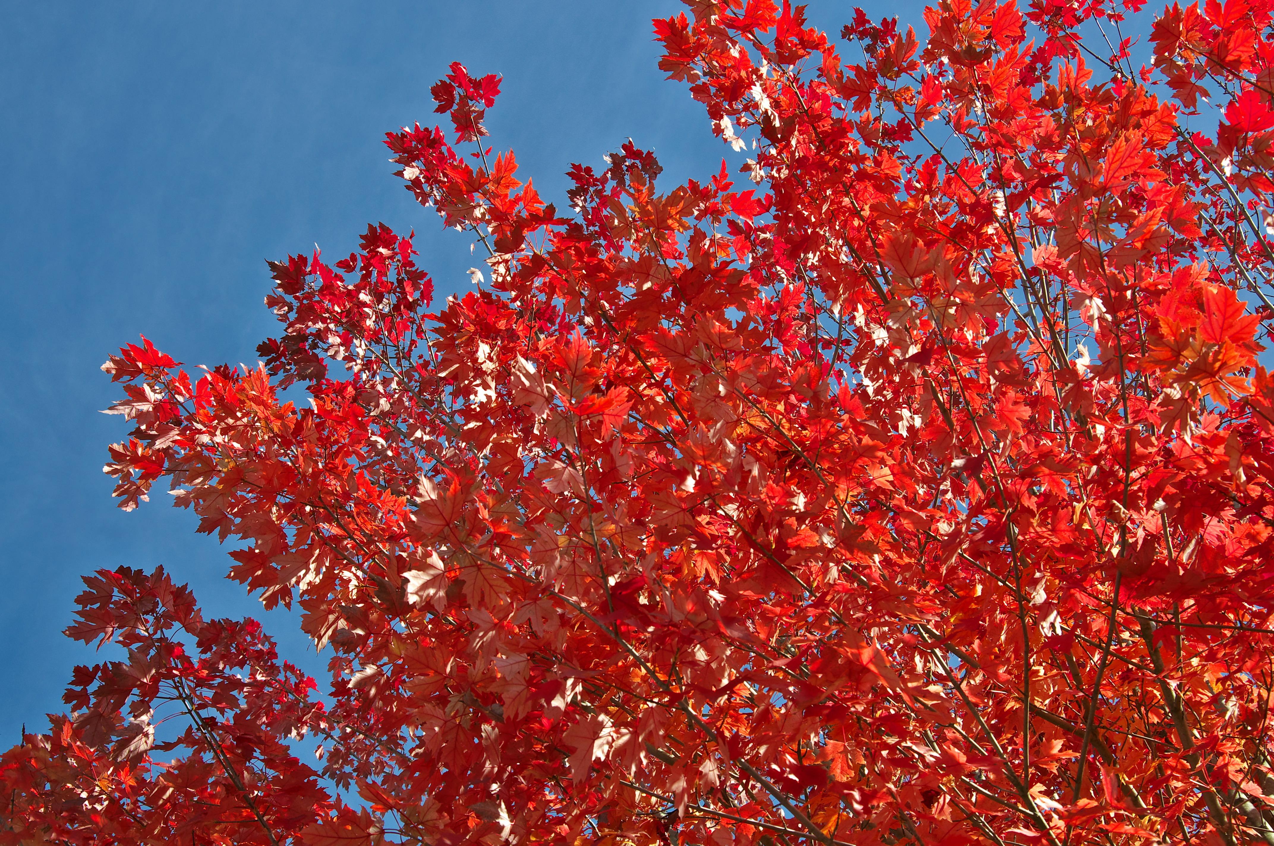 images gratuites arbre branche fleur plante ciel printemps rouge l 39 automne bleu. Black Bedroom Furniture Sets. Home Design Ideas