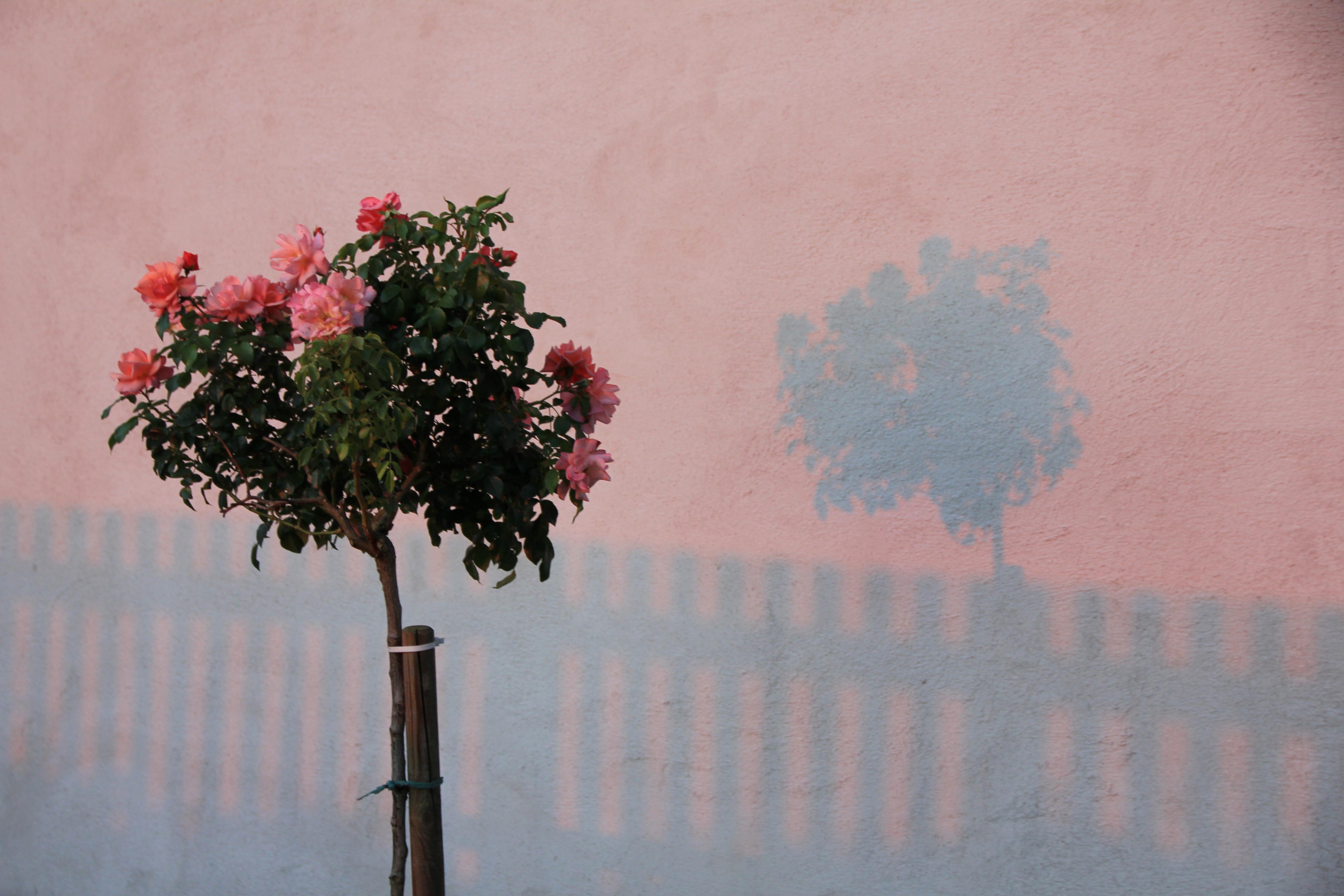 Images gratuites arbre branche fleur plante ciel matin feuille p tale mur printemps - Arbre fleurs rouges printemps ...