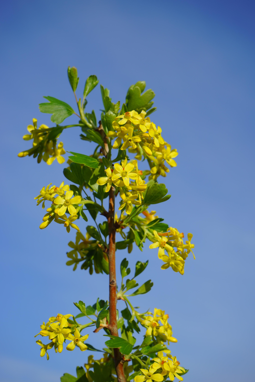 banco de imagens rvore ramo flor plantar cu luz solar folha flor arbusto comida produzir evergreen botnica amarelo flora colza