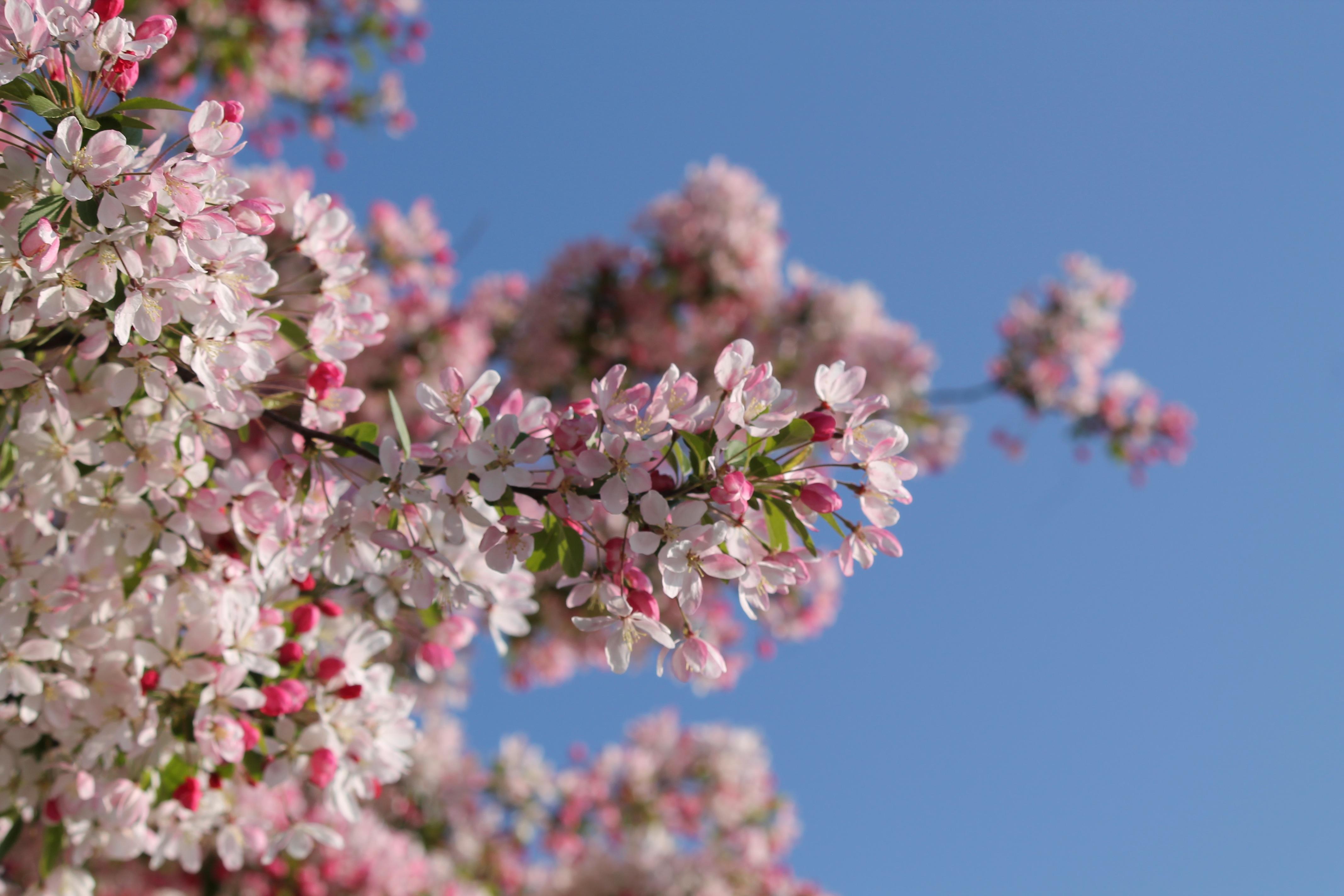 Gambar Pohon Cabang Mekar Menanam Putih Sinar Matahari Daun Bunga Berkembang Musim Panas Musim Semi Menghasilkan Berwarna Merah Muda Flora Bunga Sakura Langit Biru Estetis Belukar Berawan 4272x2848 734479 Galeri Foto Pxhere