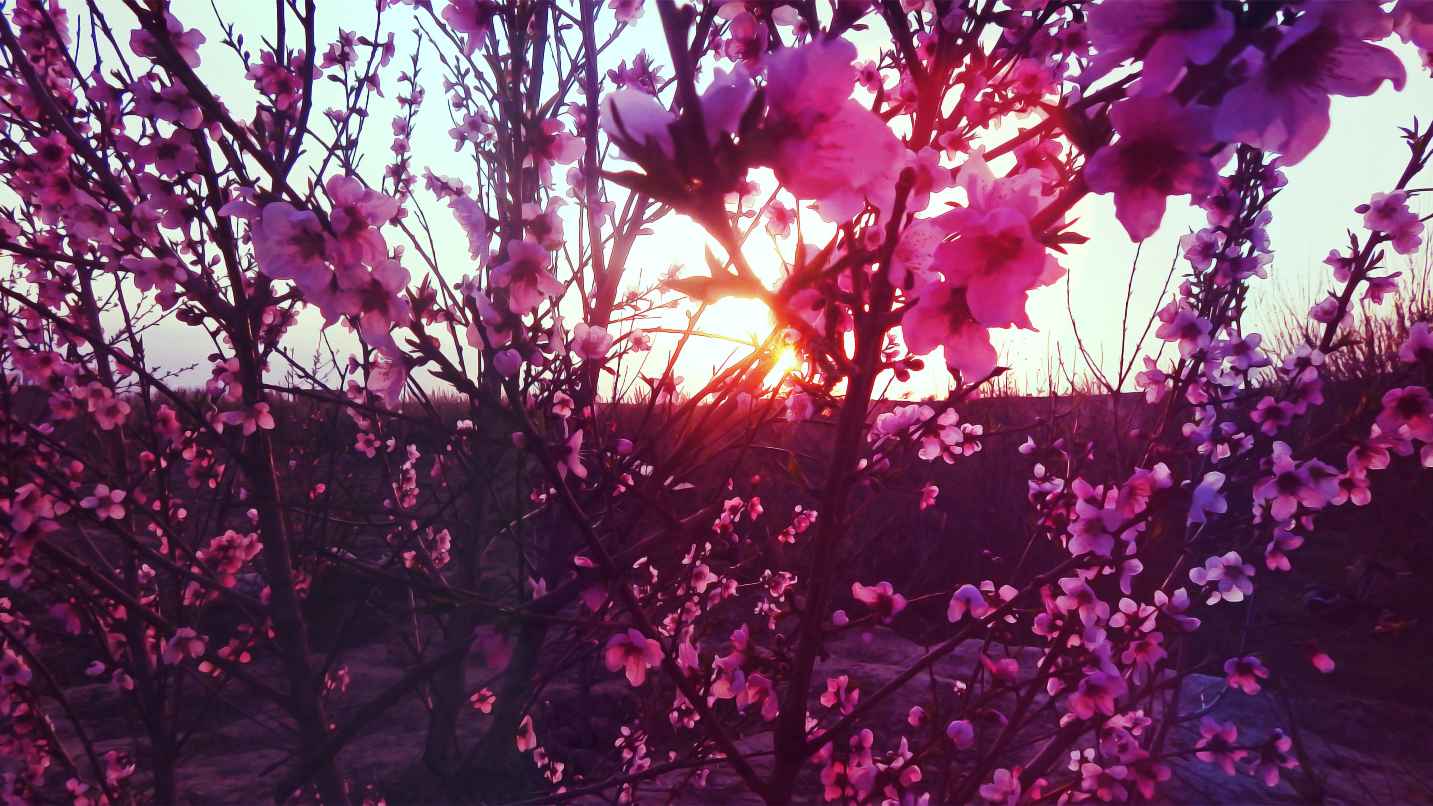 Gambar Pohon Cabang Mekar Menanam Sinar Matahari Ungu Daun Bunga Warna Musim Gugur