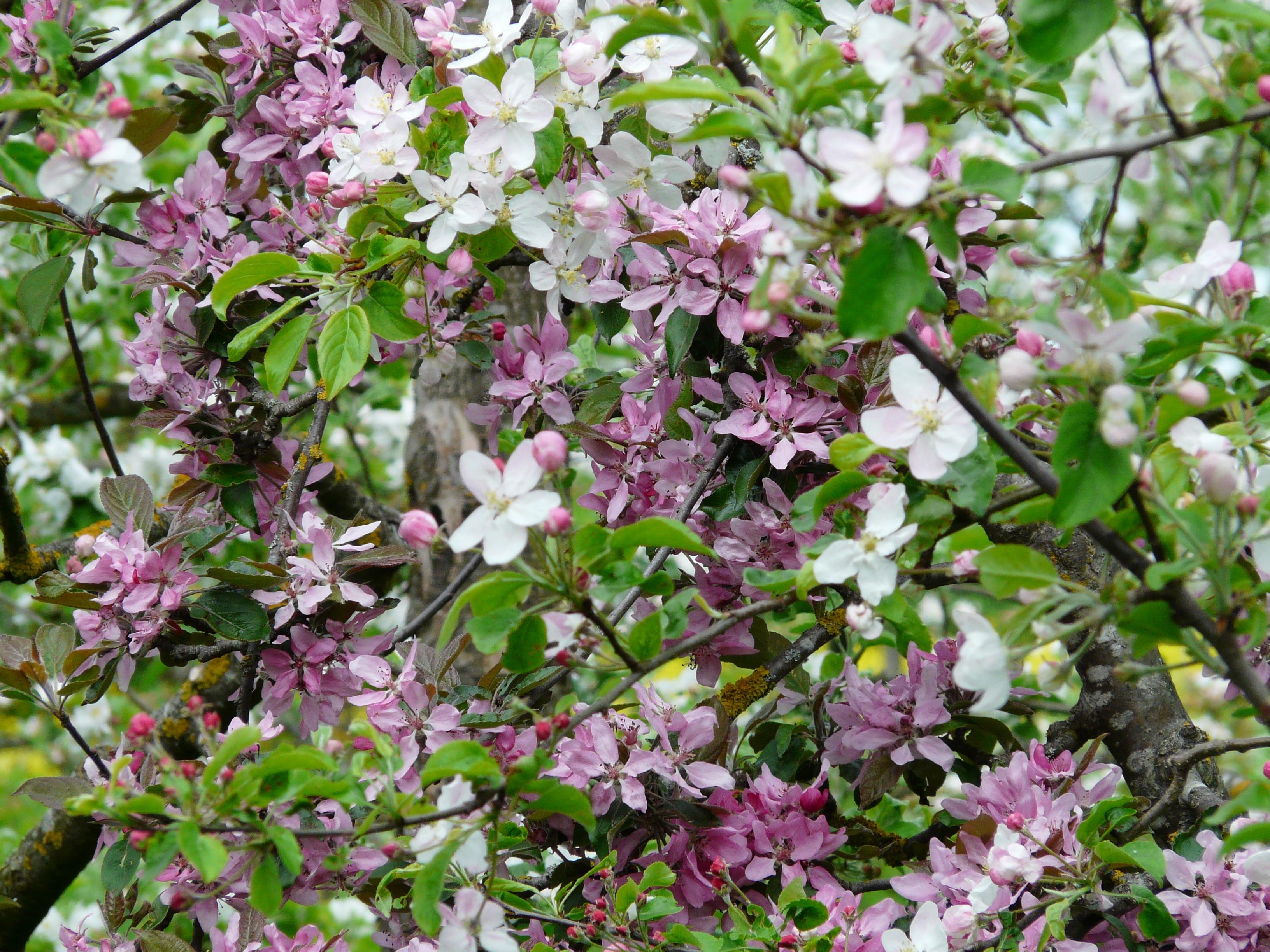 images gratuites arbre branche fleur blanc floraison aliments printemps rouge herbe. Black Bedroom Furniture Sets. Home Design Ideas