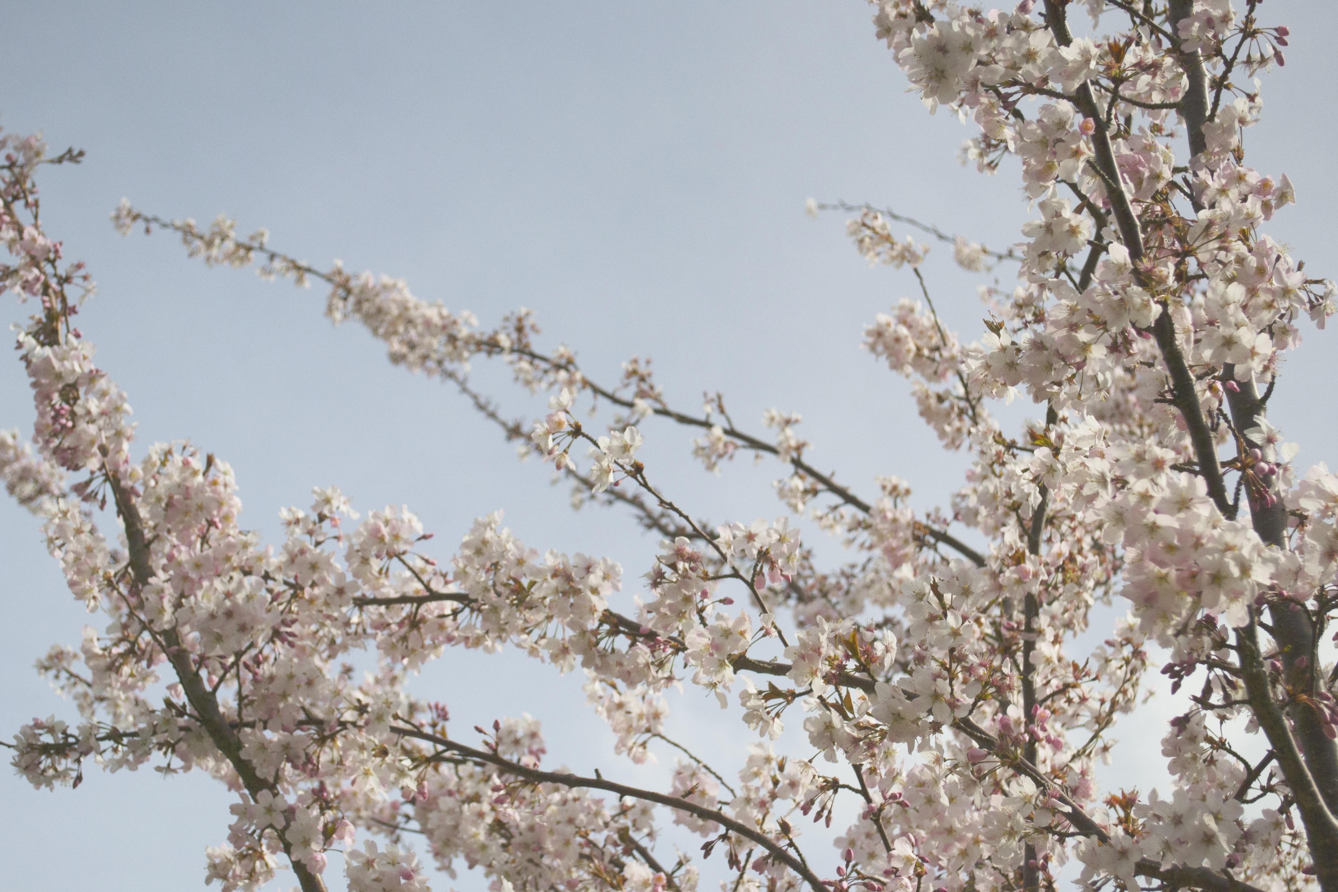 Images Gratuites Arbre Branche Blanc Floraison Printemps