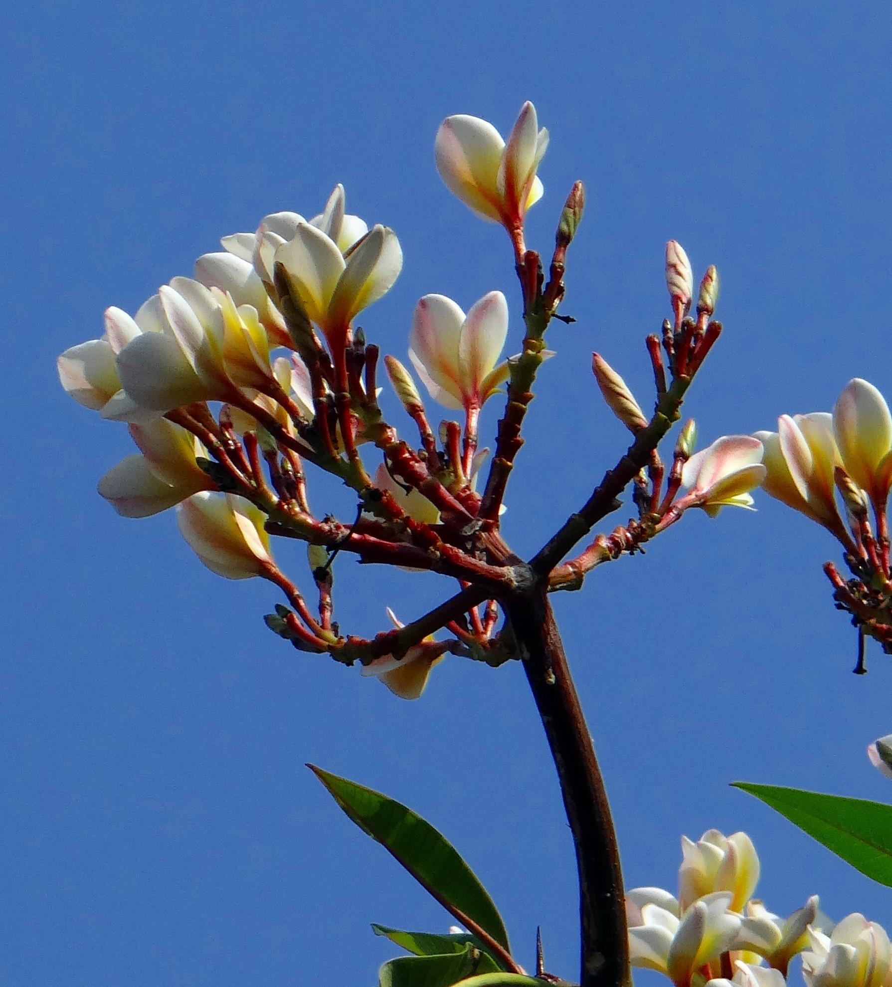 Free Images Tree Branch Blossom White Flower Produce Botany