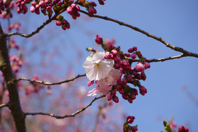 Floraison cerisier japon les fleurs de cerisier de floraison blanches et roses jaillissent - Arbre rose japon ...