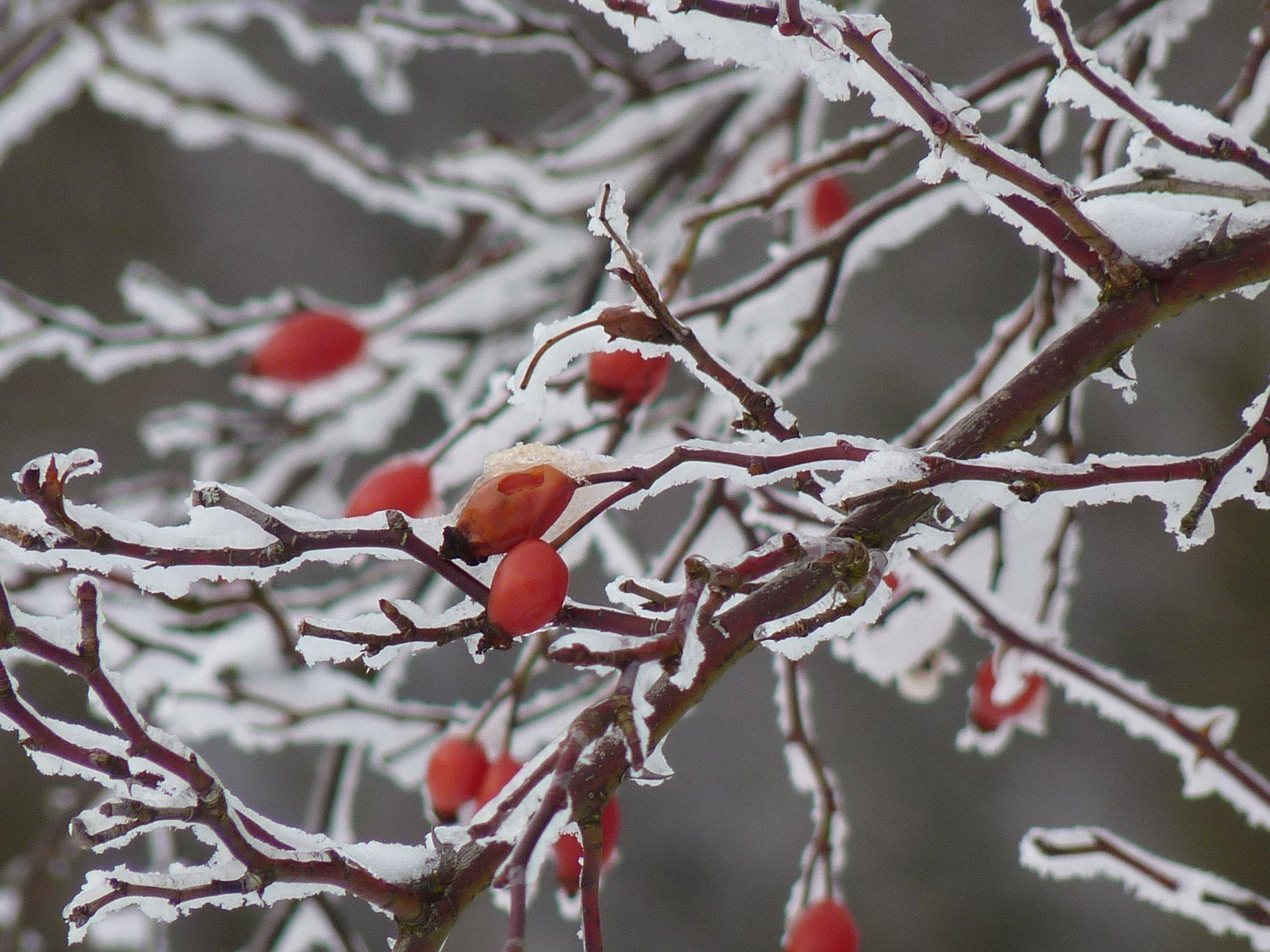 картинки дерево филиал цвести снег холодно зима