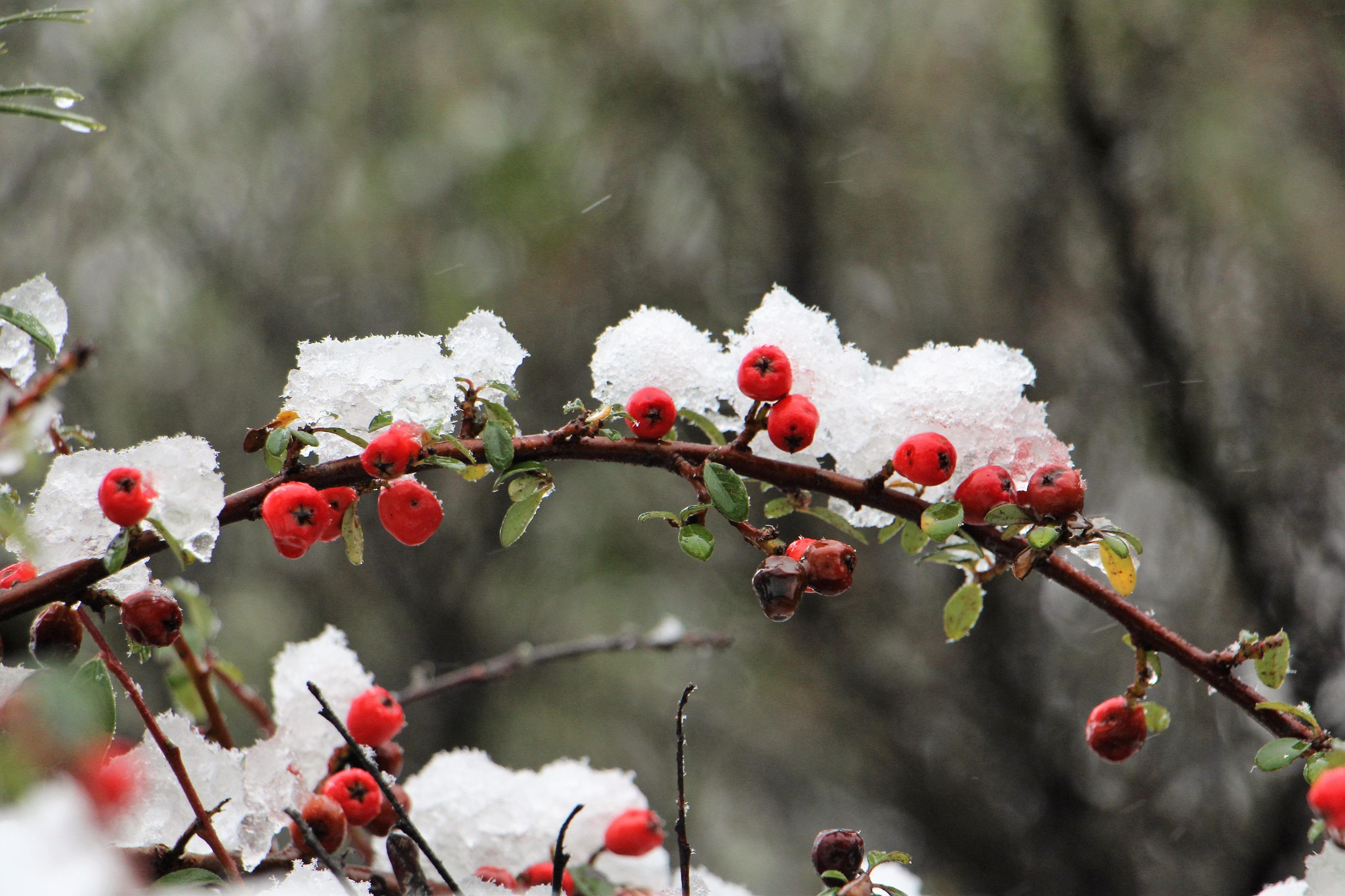 Bakgrundsbilder Tr 228 D Gren Blomma Vinter Frukt B 228 R
