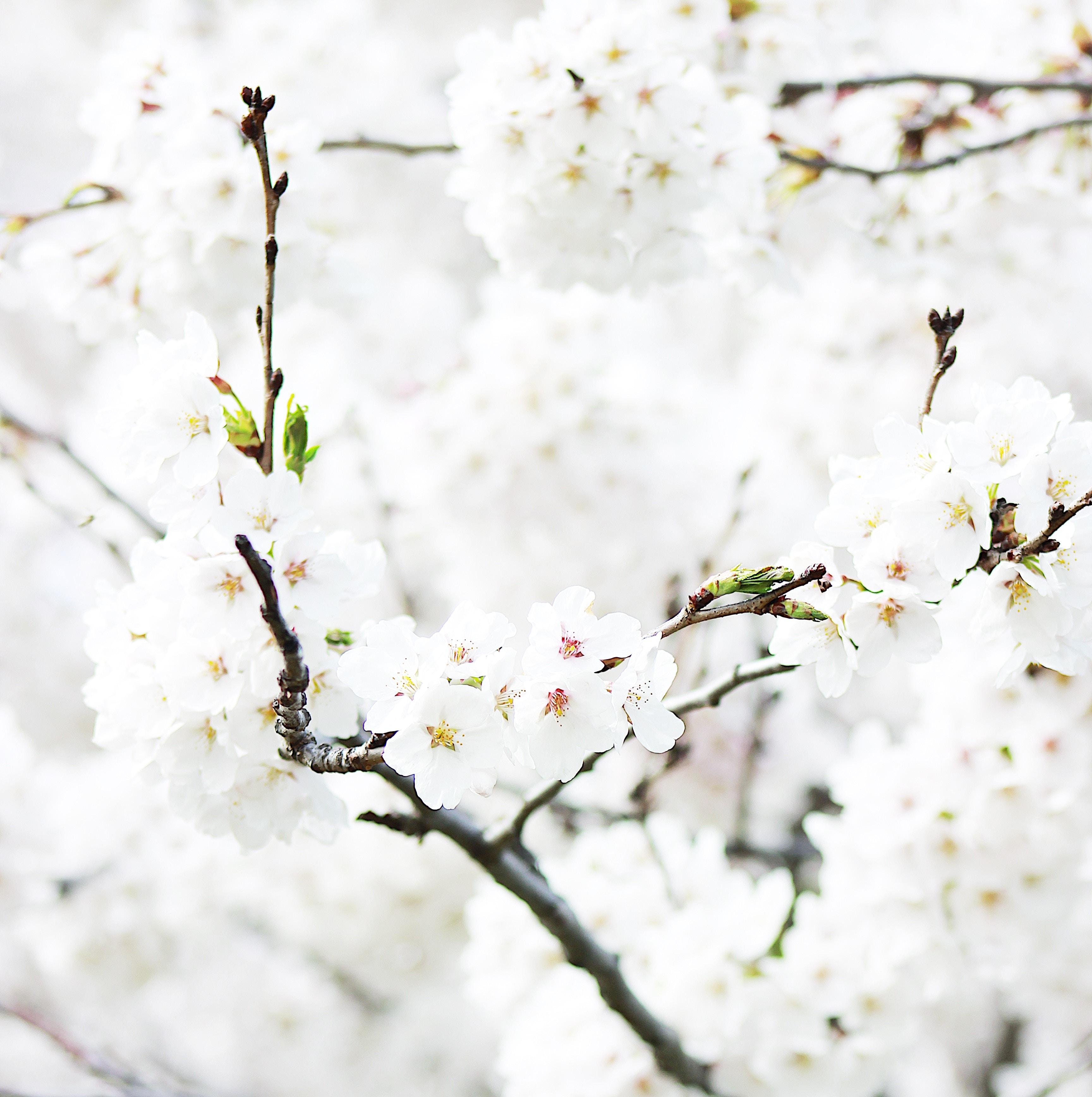 pohon cabang mekar musim dingin menanam bunga daun bunga musim semi bunga sakura ranting gambar keren