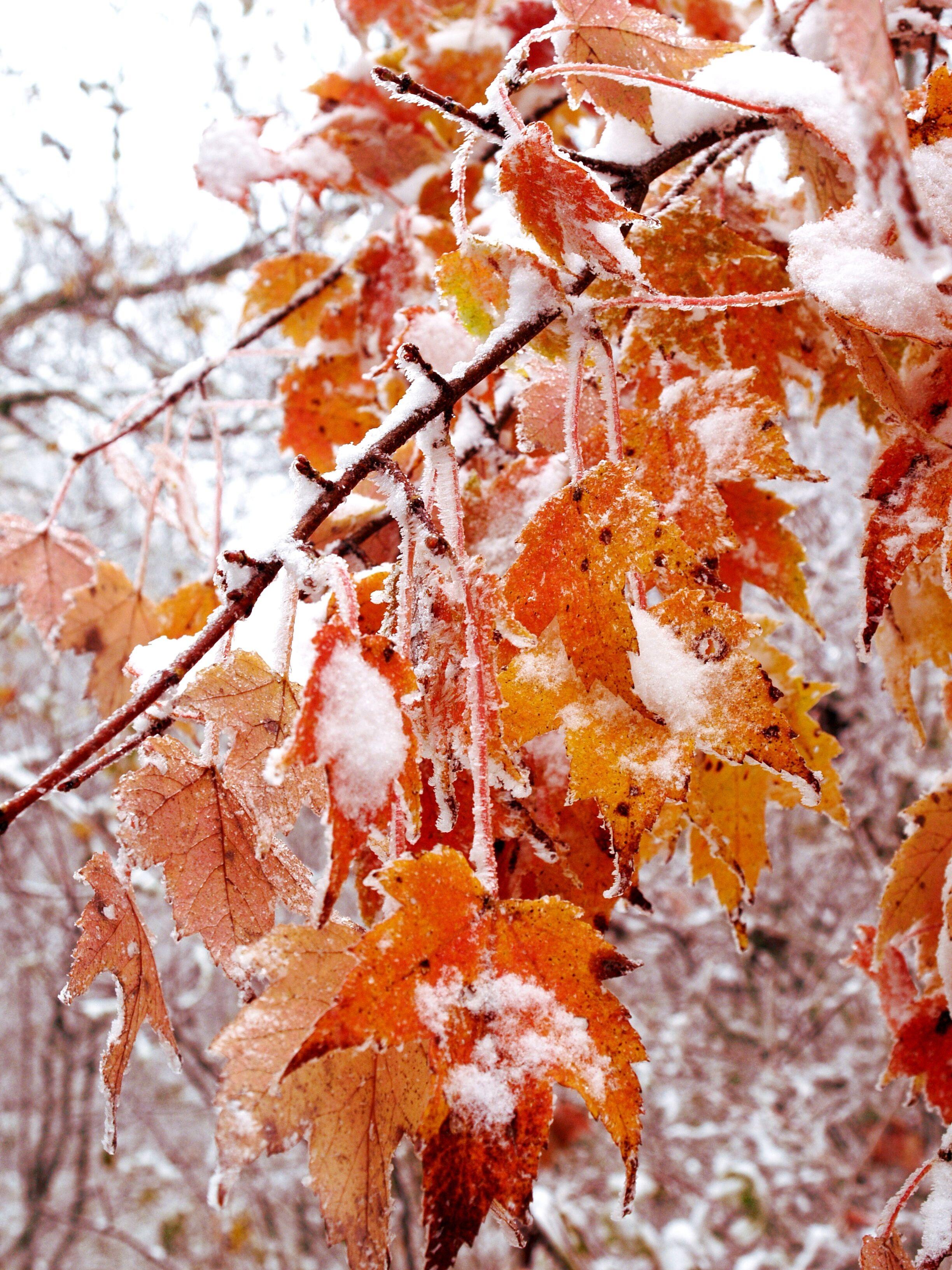 Картинки клена зимой