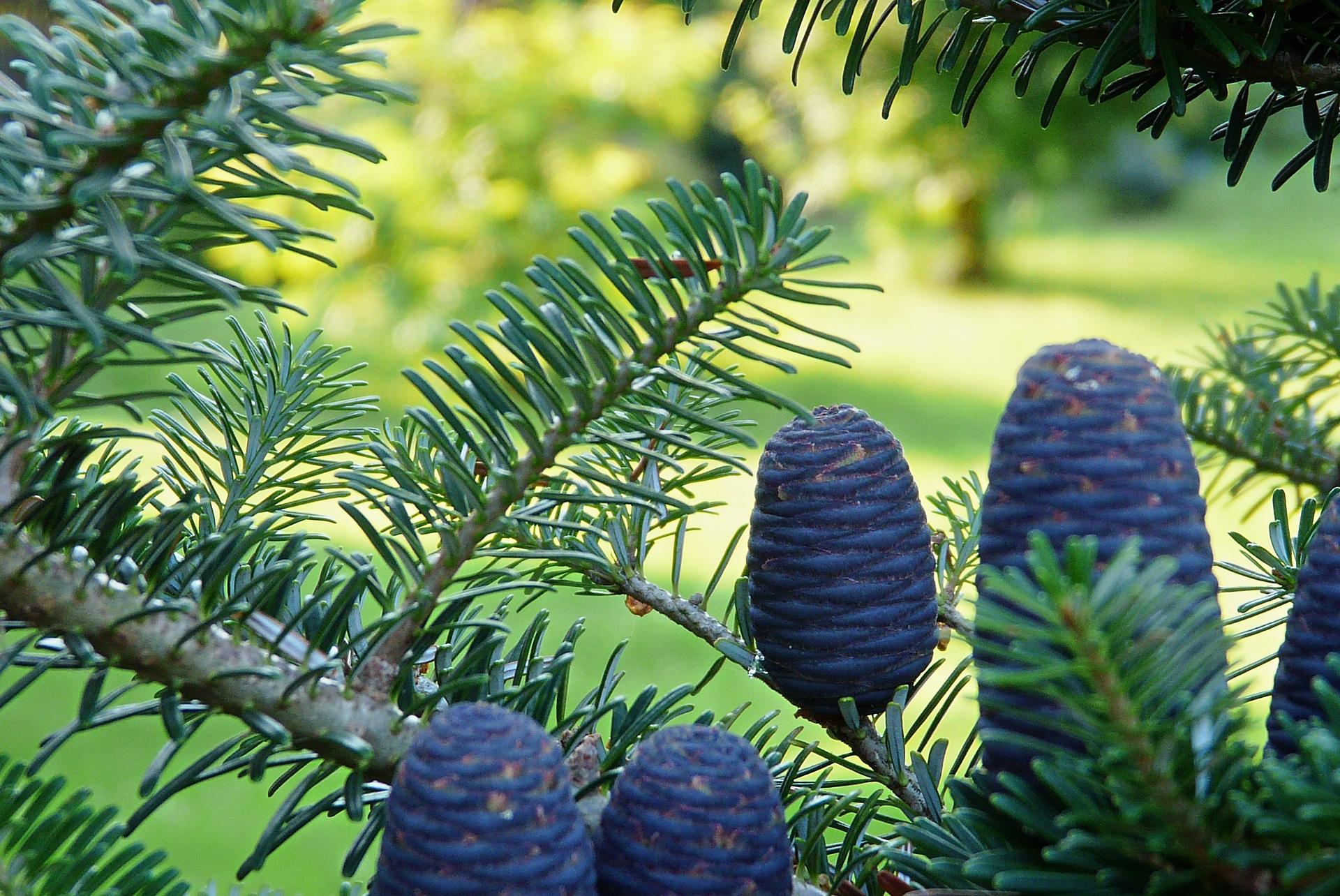 самые пихта дерево фото листьев вет