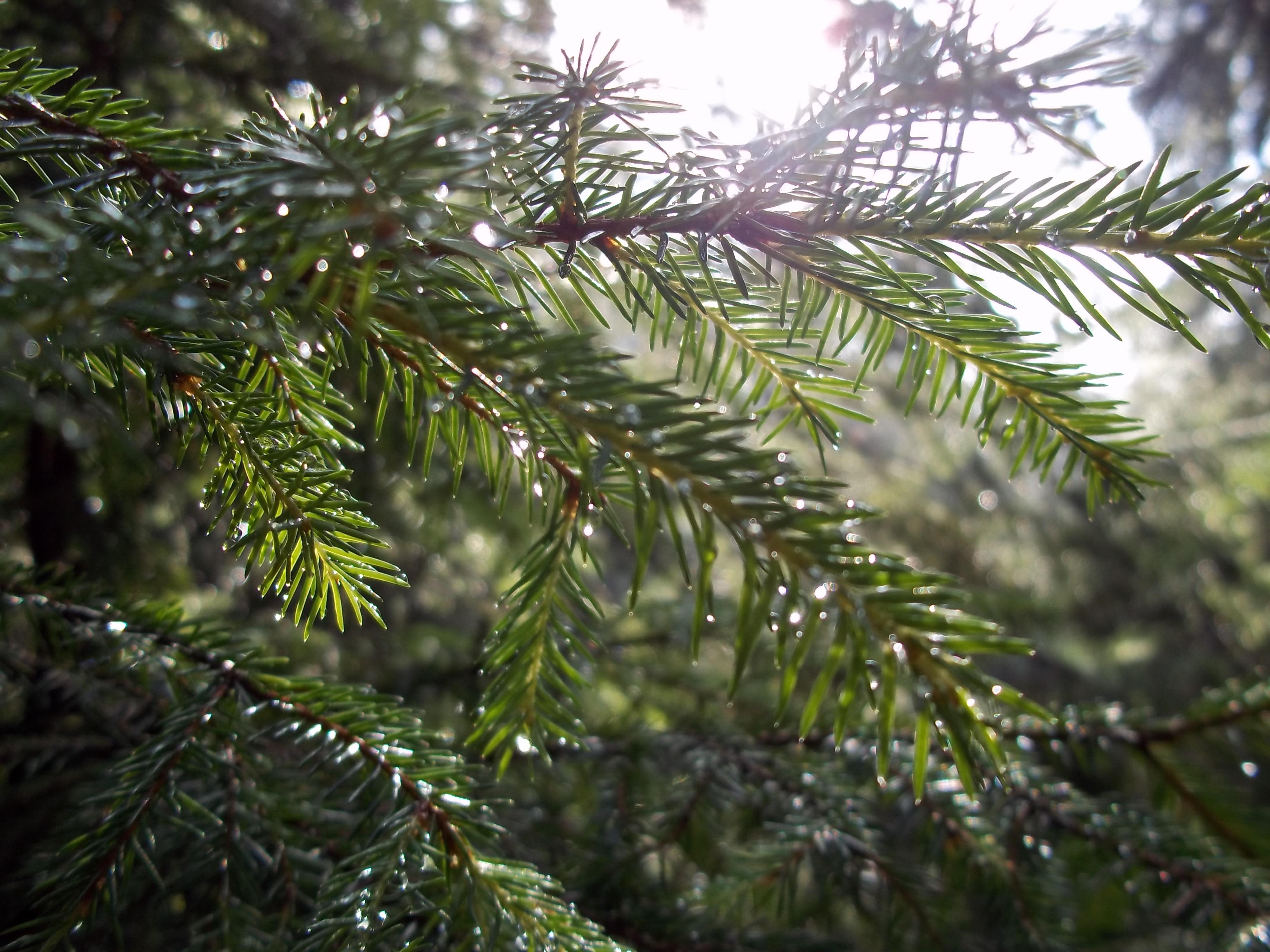 Weihnachtsbaum Ast.Kostenlose Foto Baum Ast Immergrün Tanne Weihnachtsbaum Zweig
