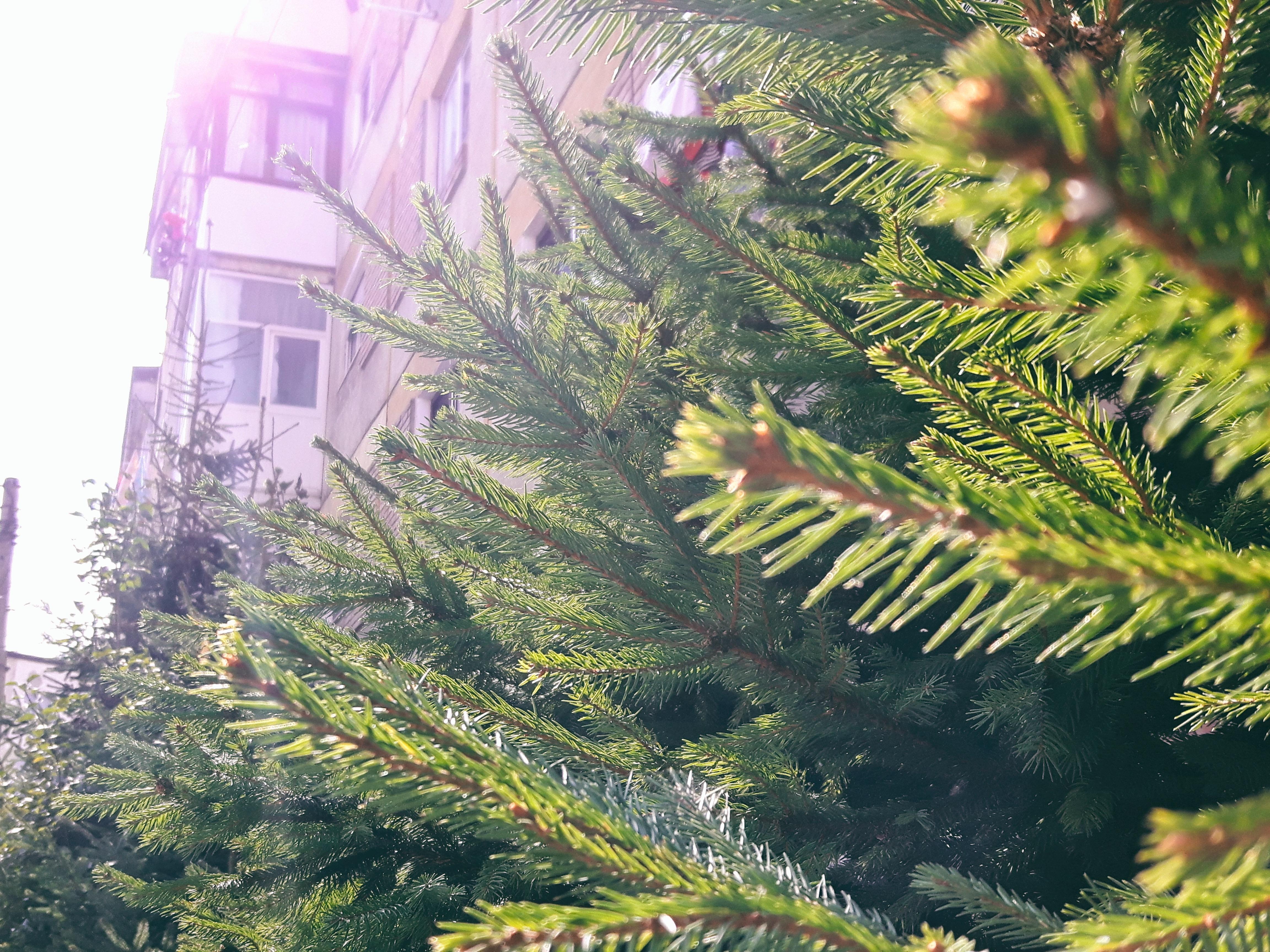 Weihnachtsbaum Ast.Kostenlose Foto Baum Ast Tanne Weihnachtsbaum
