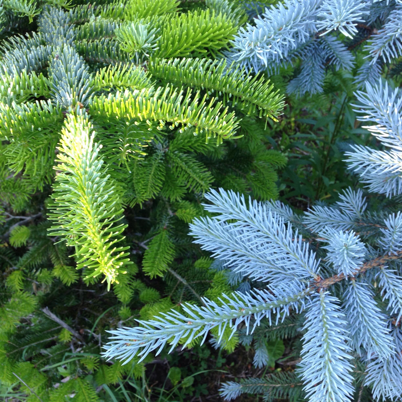 пихта дерево фото листьев