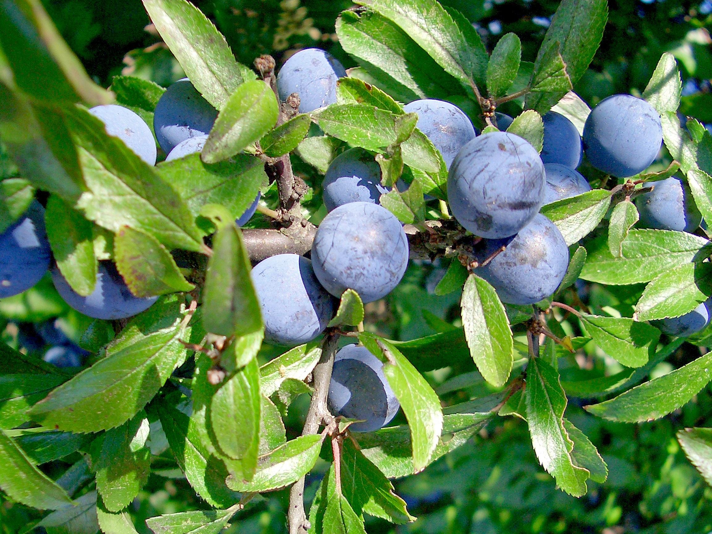 buske blå bär