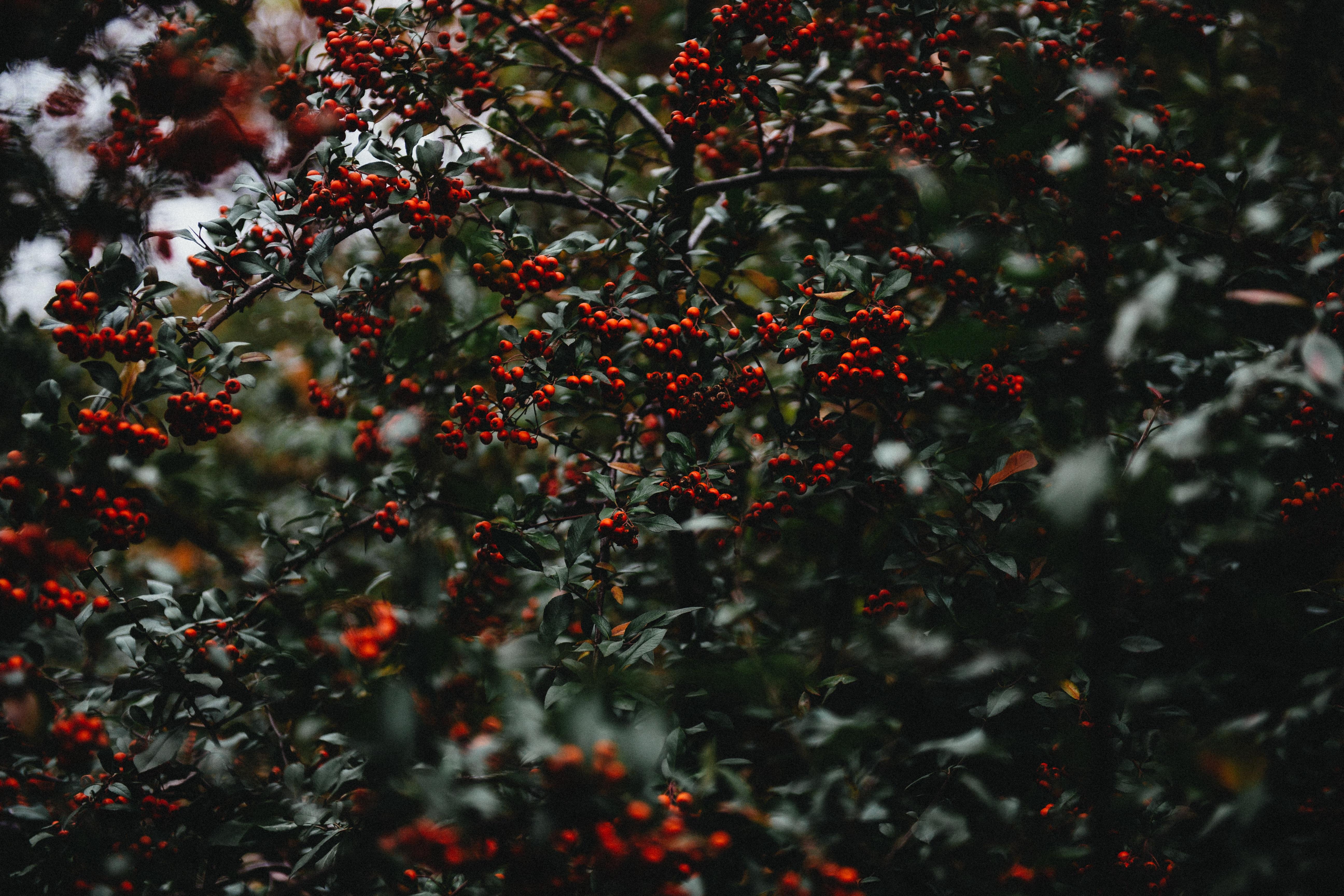 Images gratuites arbre branche plante fruit baie for Plante feuille rouge