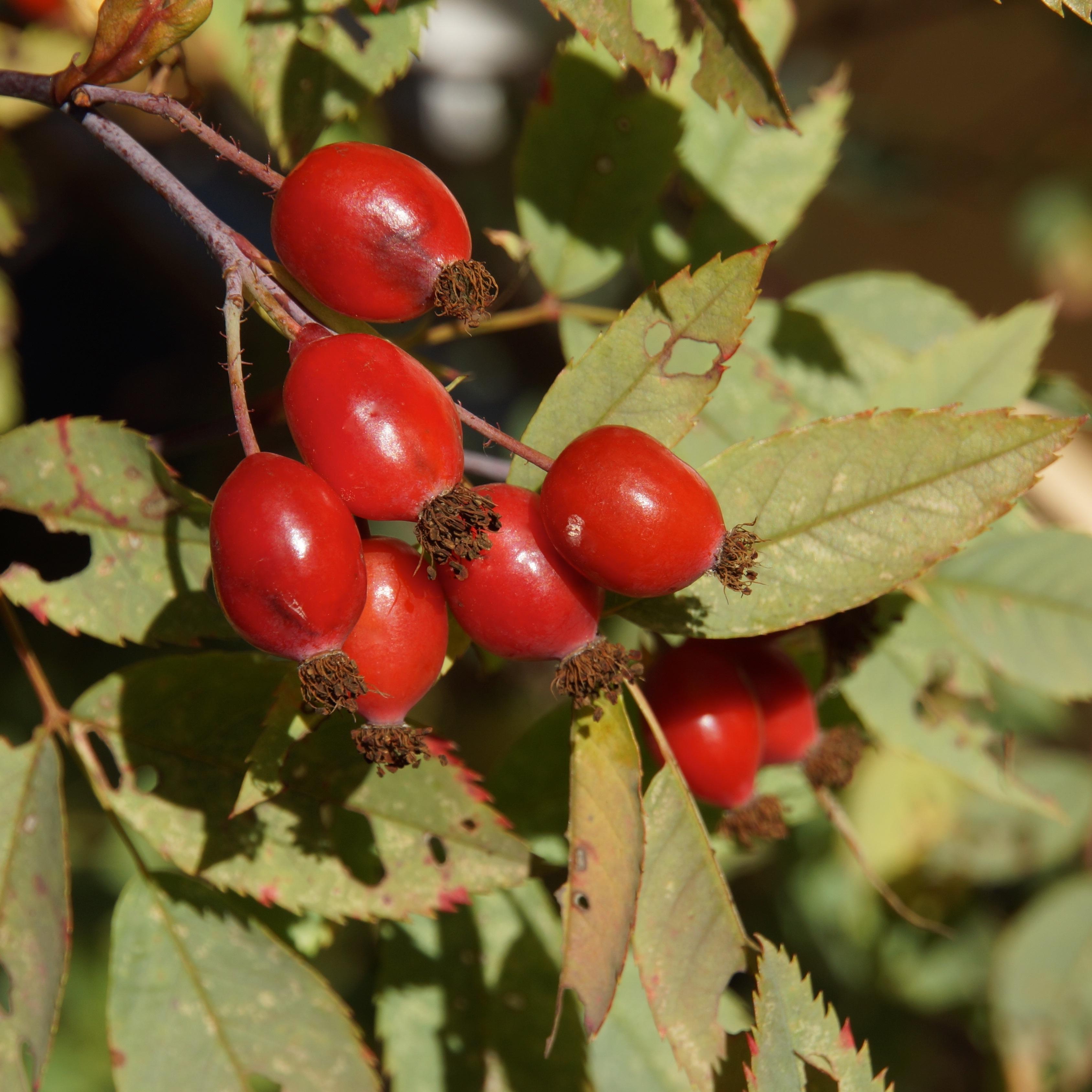 Free Images Tree Branch Fruit Berry Leaf Flower Food