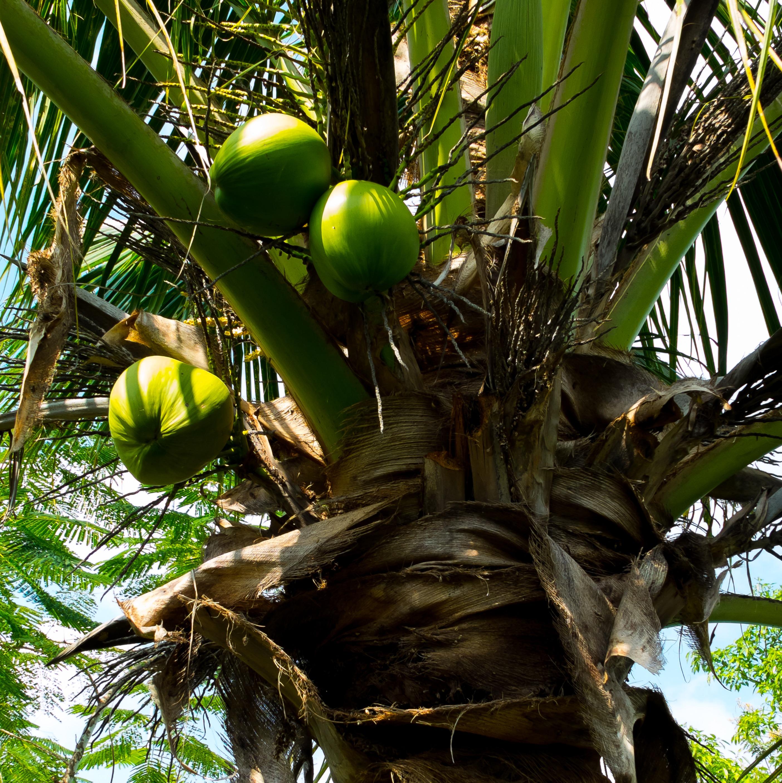 общем картинки где растут кокосы погибших героев