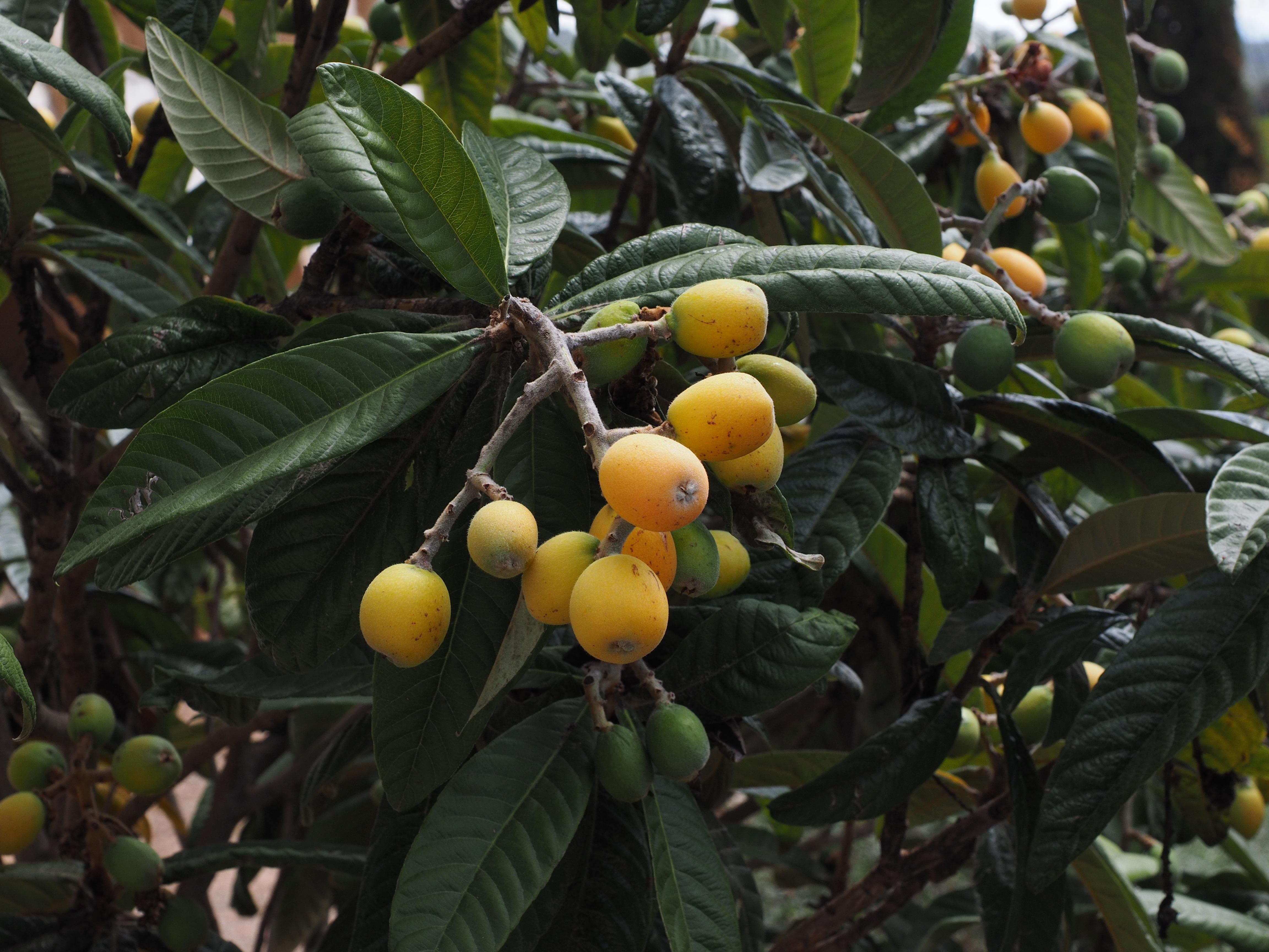 Images gratuites arbre branche fruit fleur aliments for Arbres a feuilles persistantes