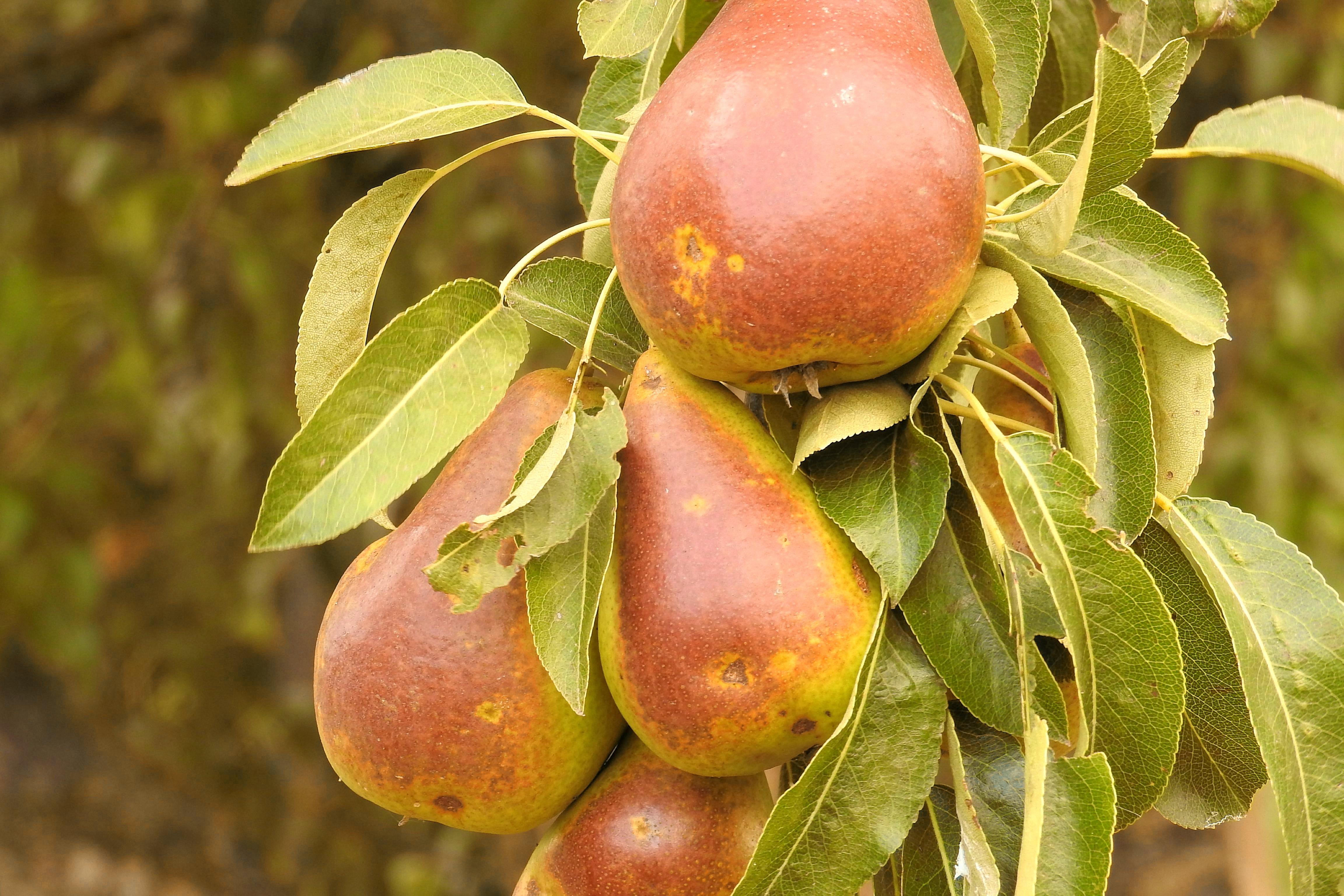 images gratuites branche fruit fleur aliments produire poire des poires arbre fruitier. Black Bedroom Furniture Sets. Home Design Ideas
