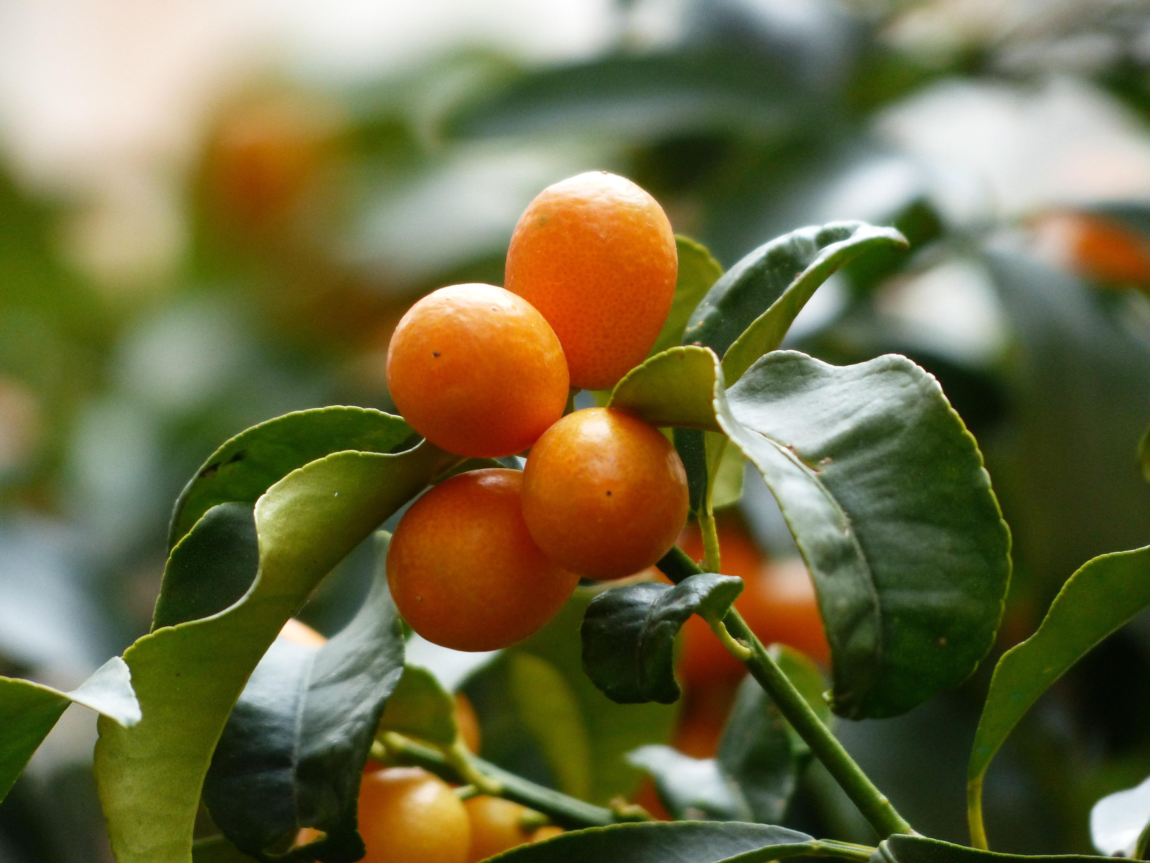 Gratis billeder tr afdeling frugt blomst mad for Plante kumquat