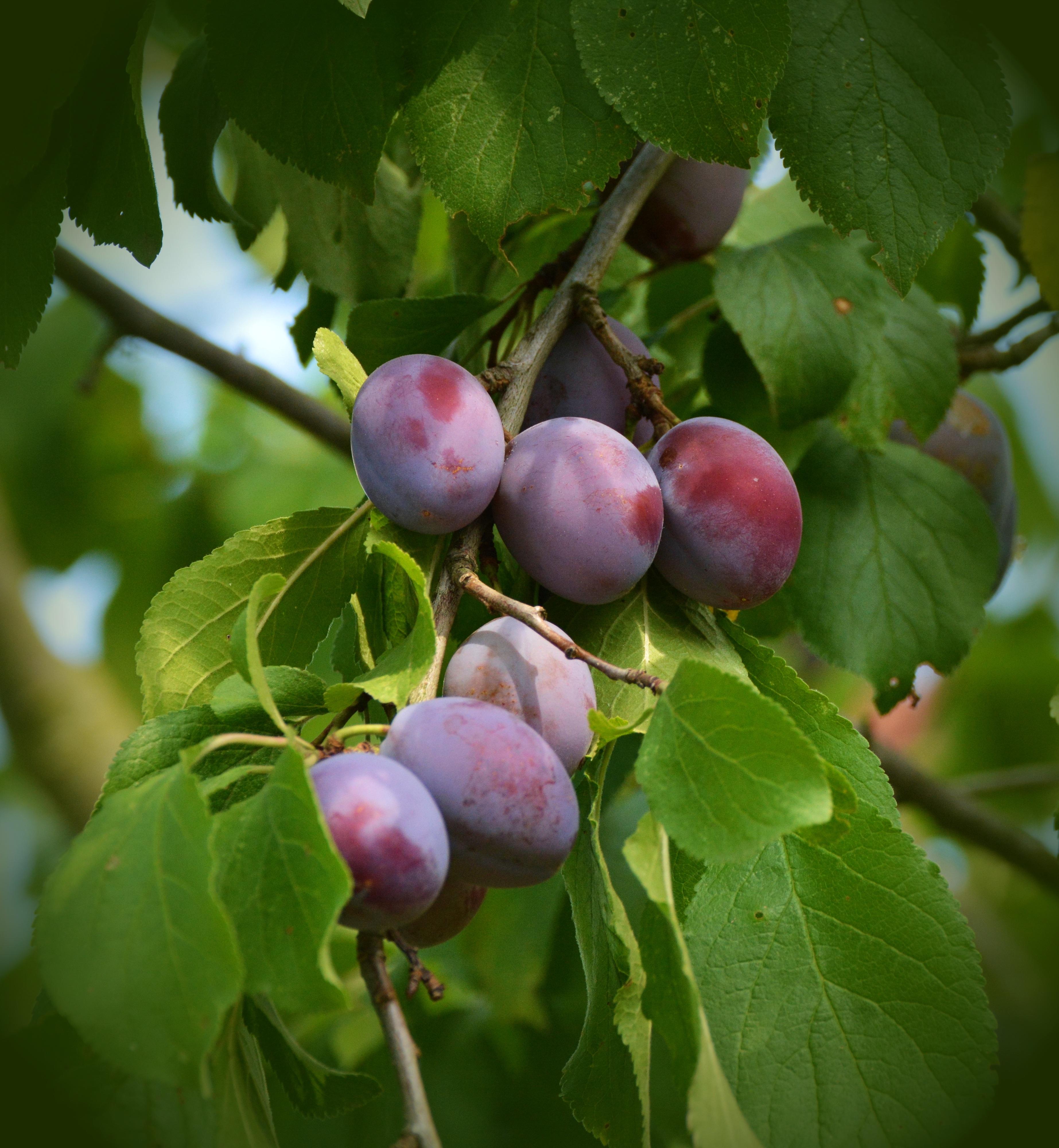 Слива — это ягода или фрукт Слива — это дерево или кустарник