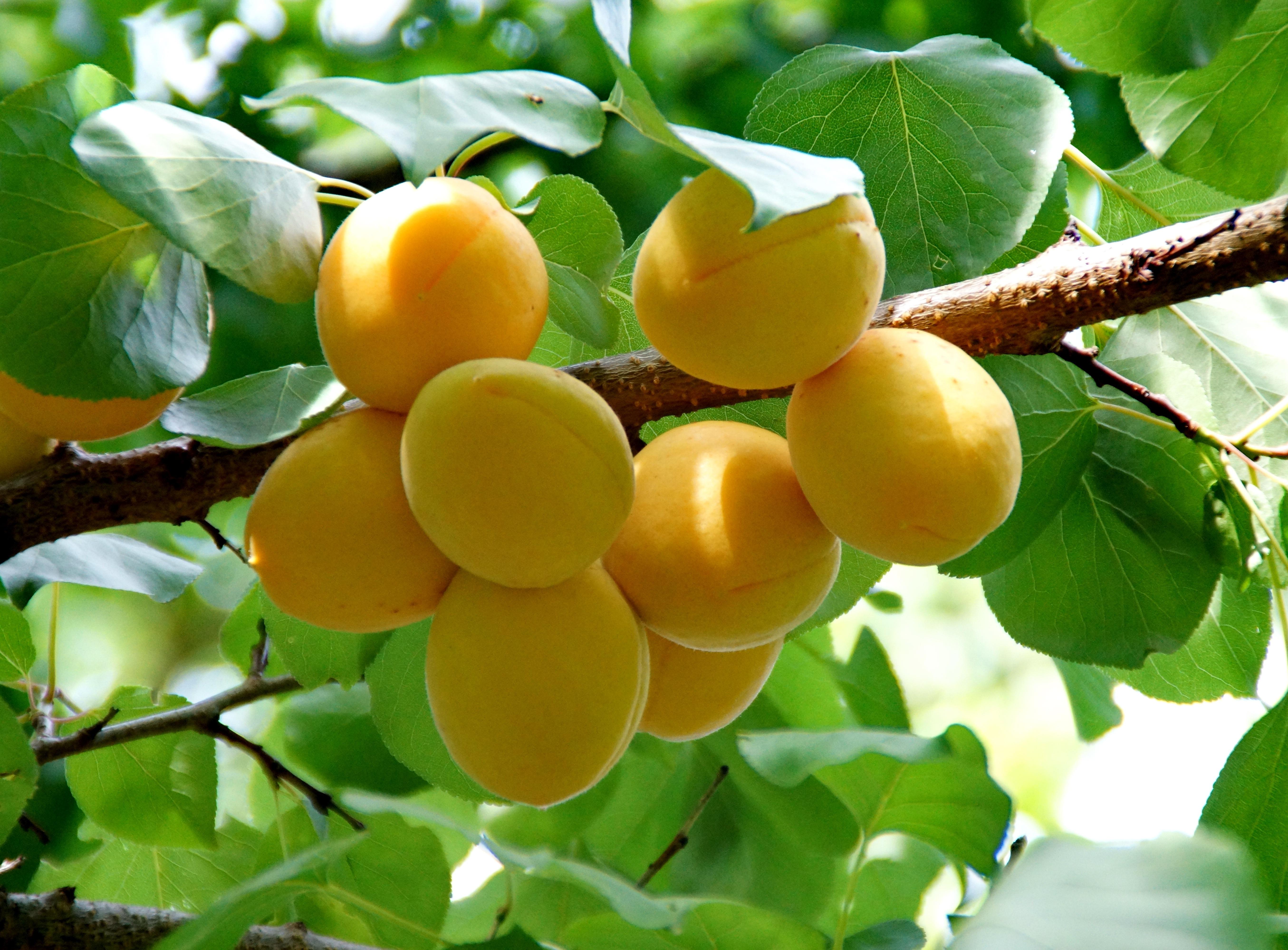 мешают коктейли фото золотого абрикоса современном прочтении
