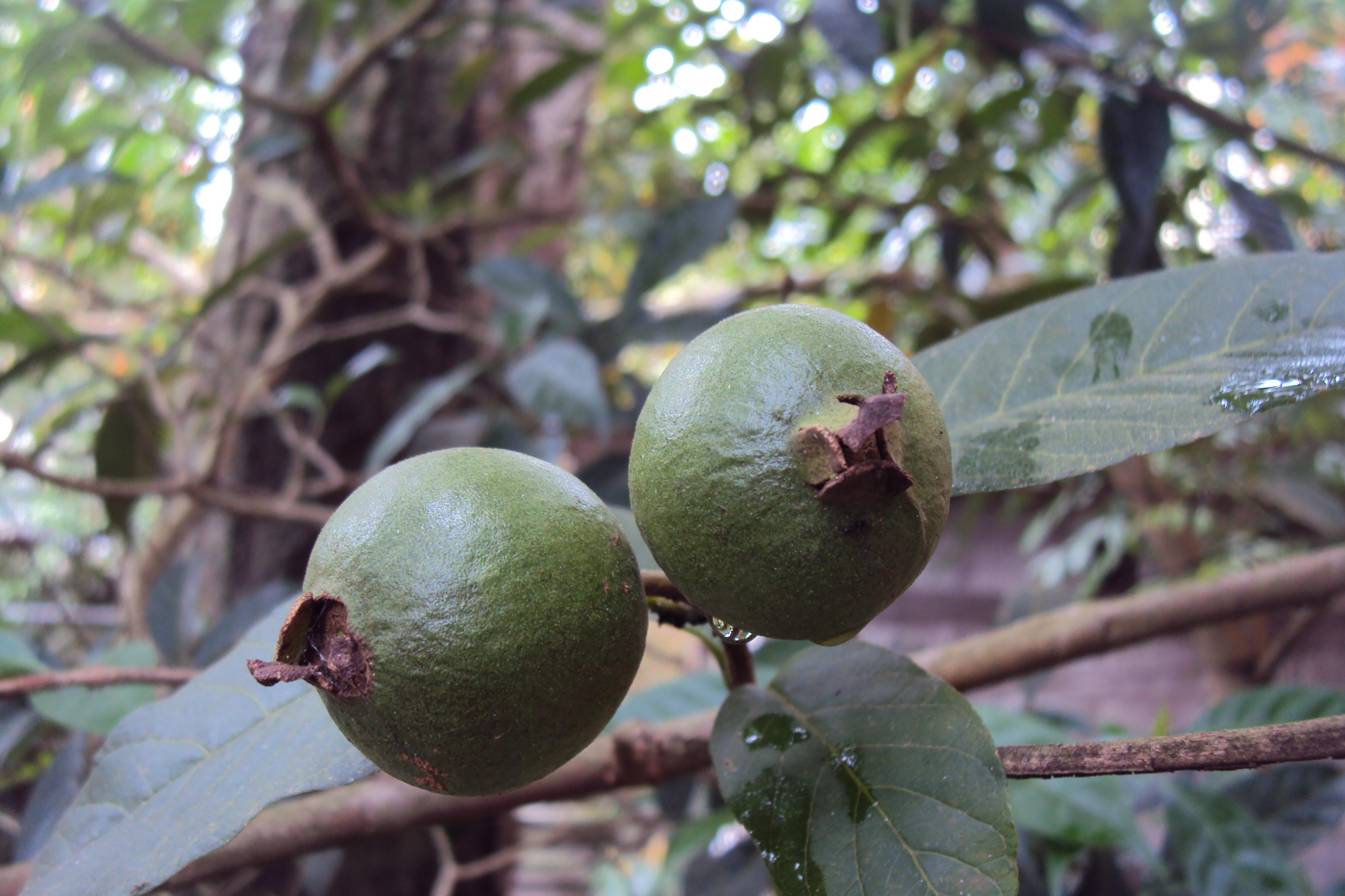 Gambar Pohon Cabang Menanam Daun Bunga Makanan Hijau