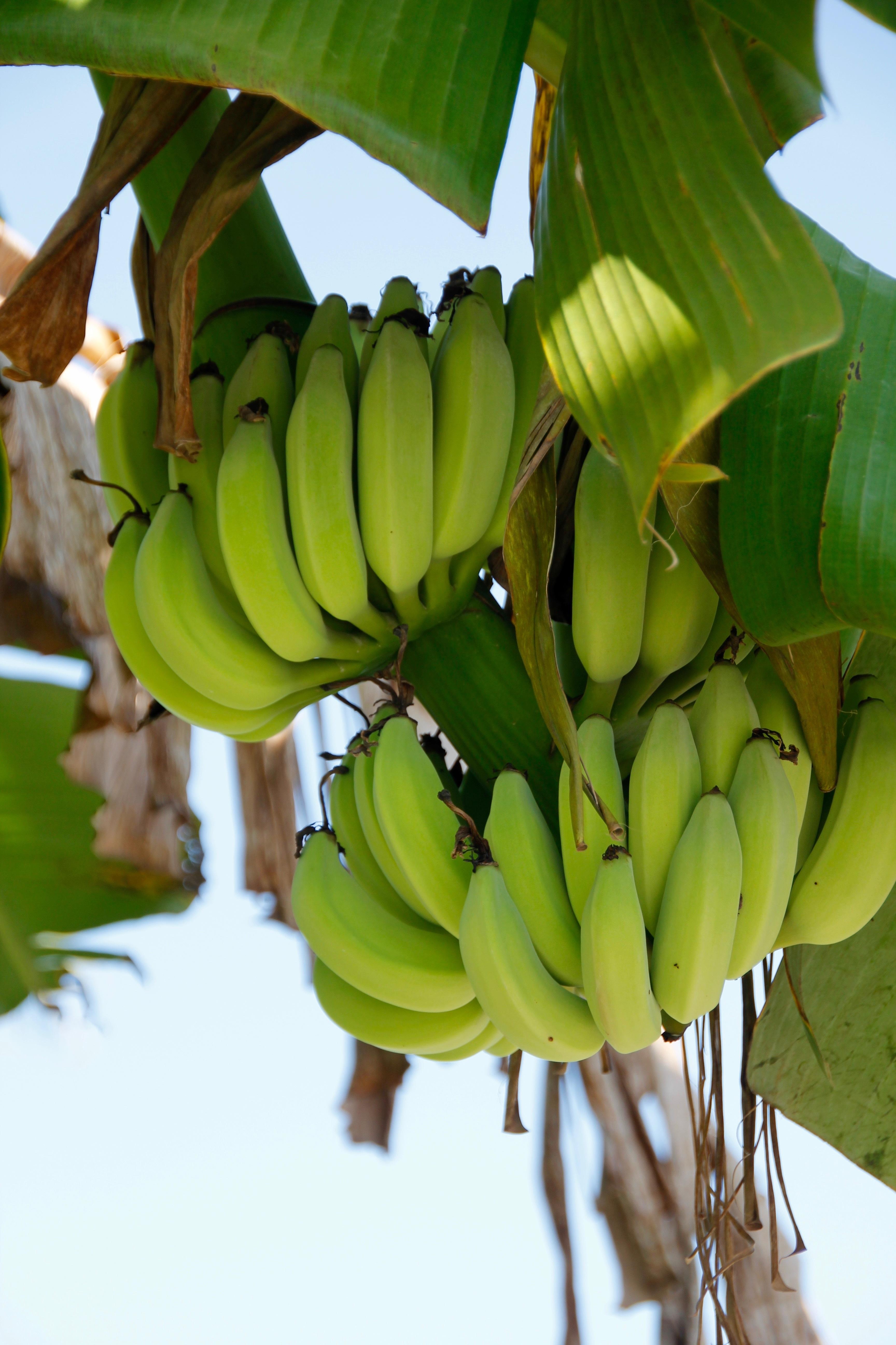 Фрукты бананы деревья фото