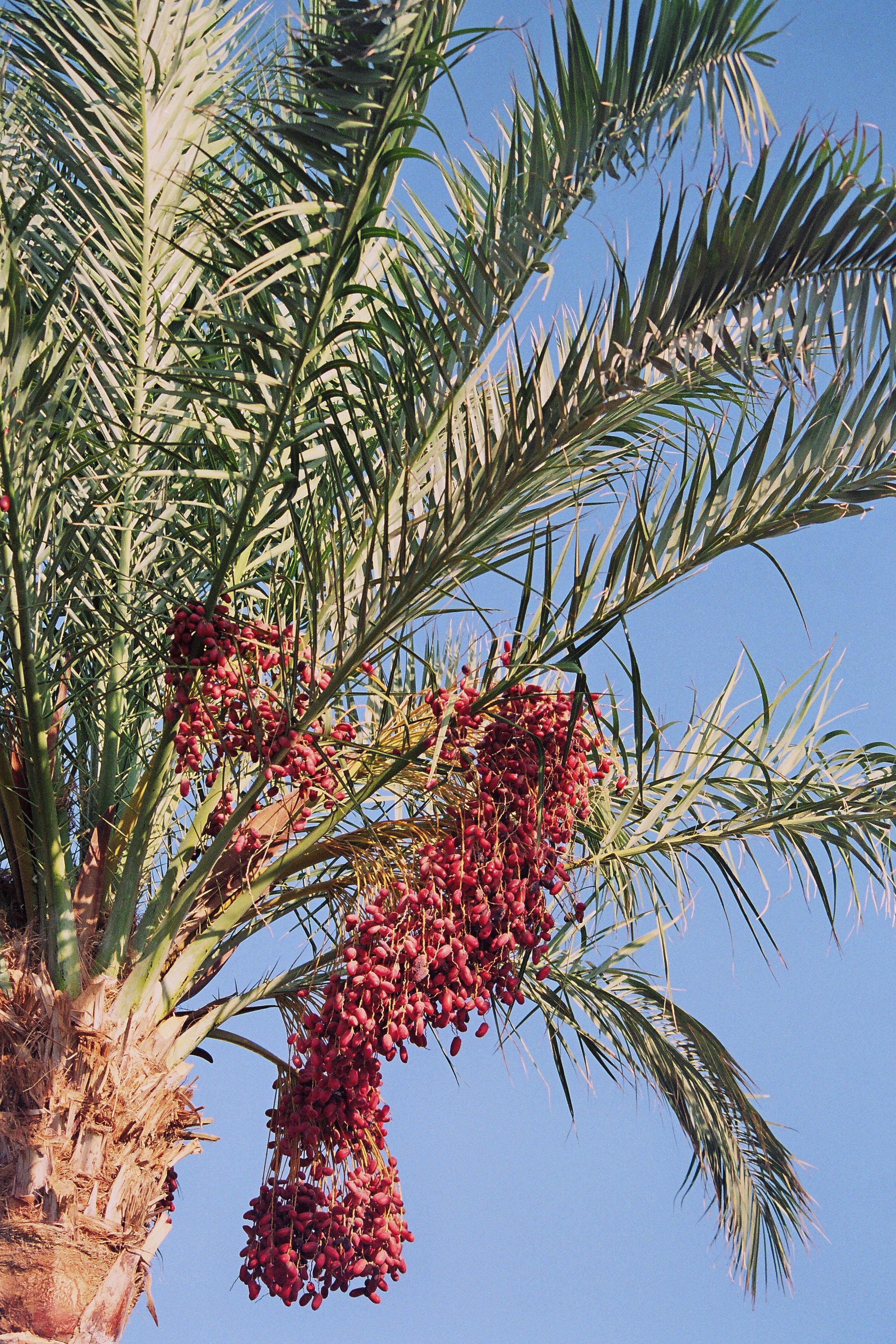 free images   tree  branch  fruit  leaf  flower  food  produce  evergreen  botany  flora  shrub