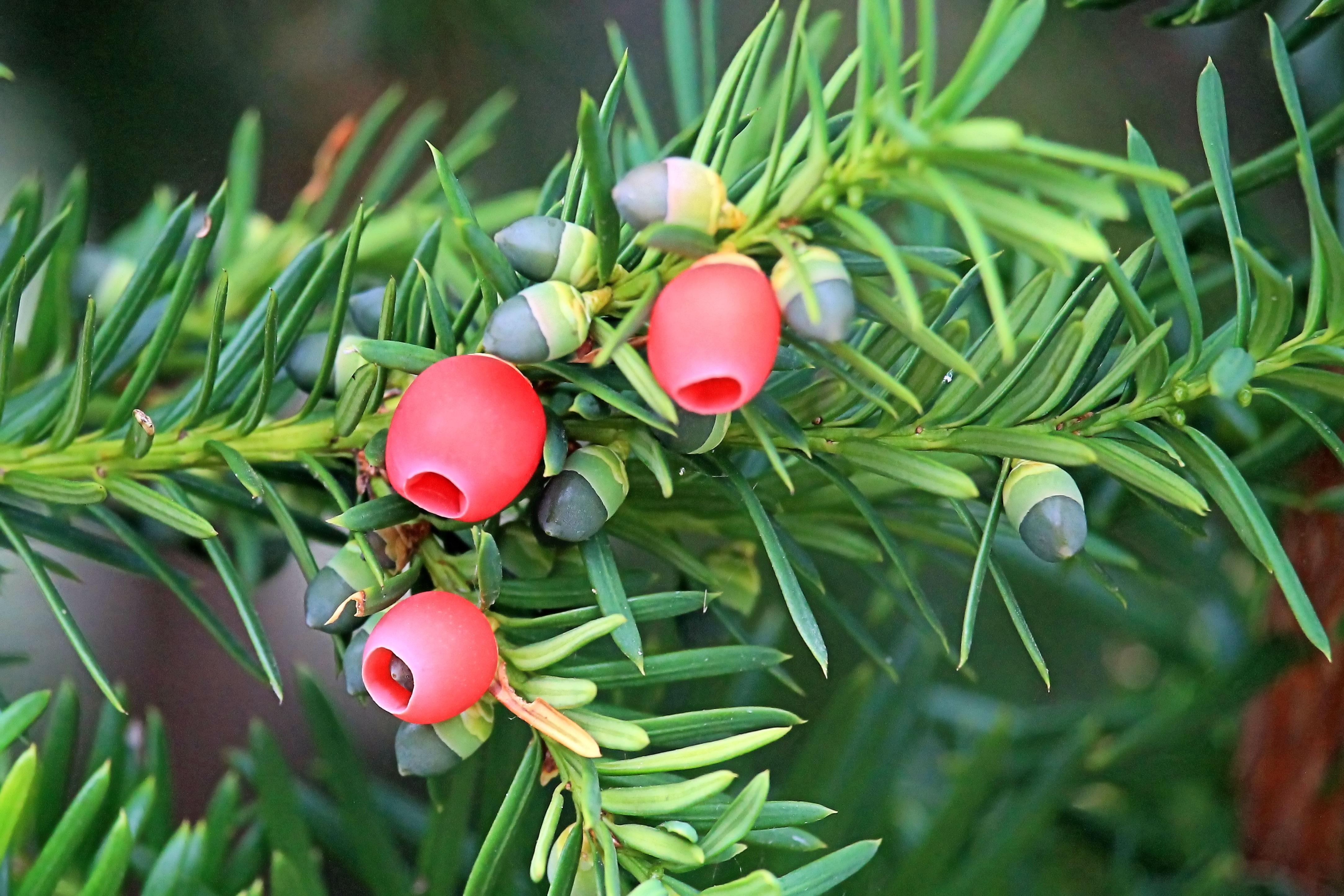 free images tree fruit leaf flower food produce evergreen