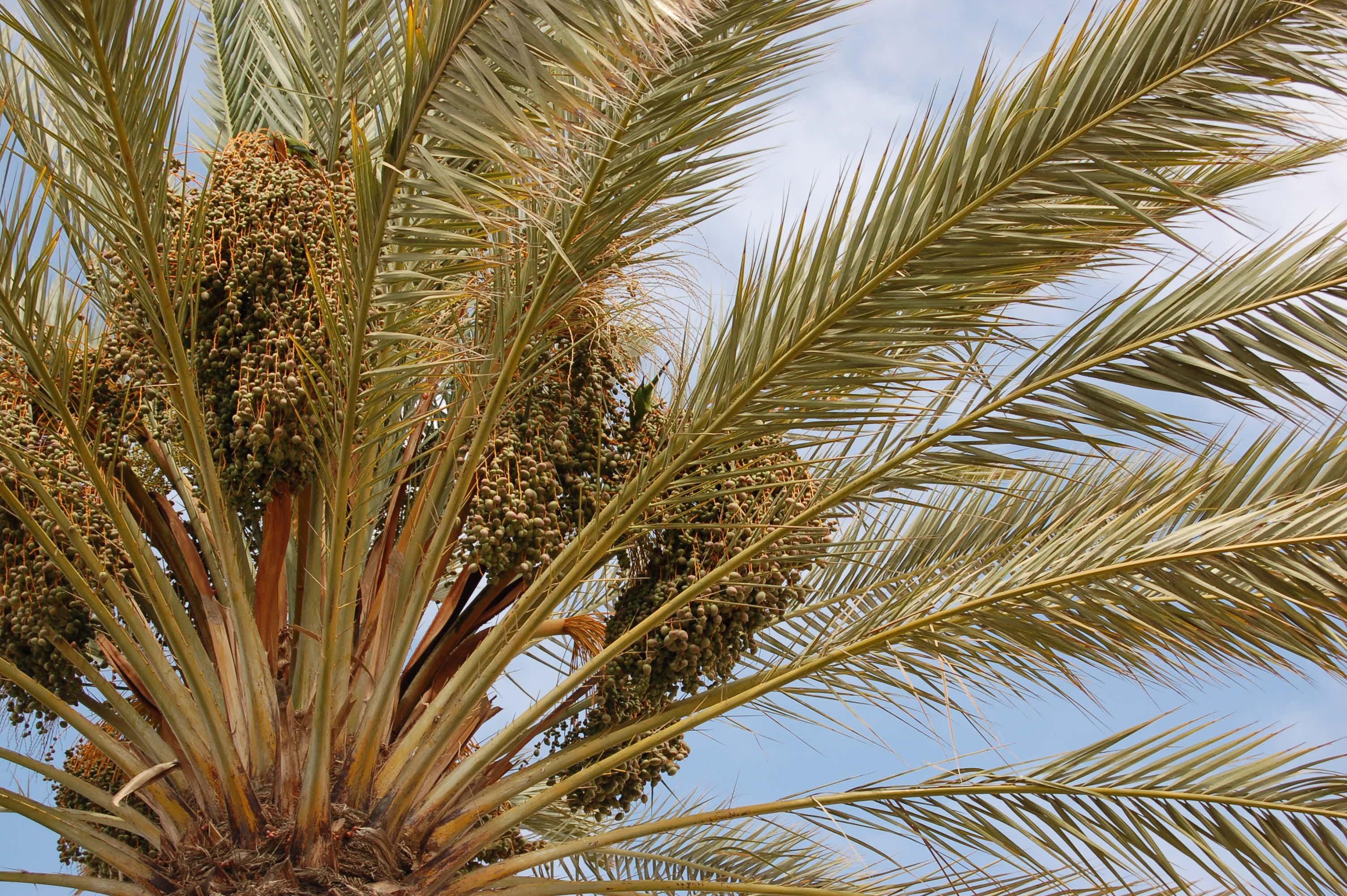 как цветет финиковая пальма фото покупки