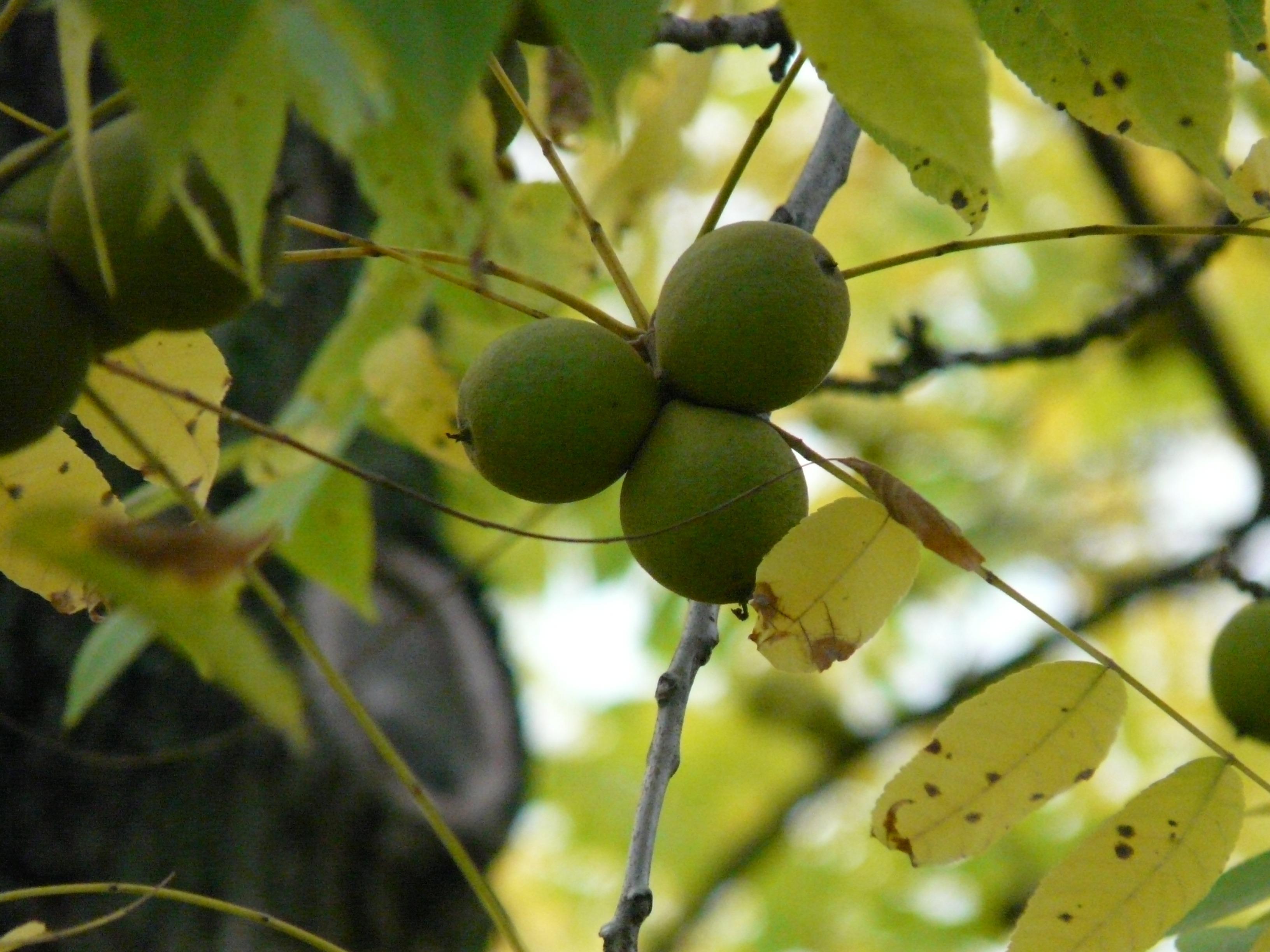 images gratuites arbre branche fruit lumi re du. Black Bedroom Furniture Sets. Home Design Ideas