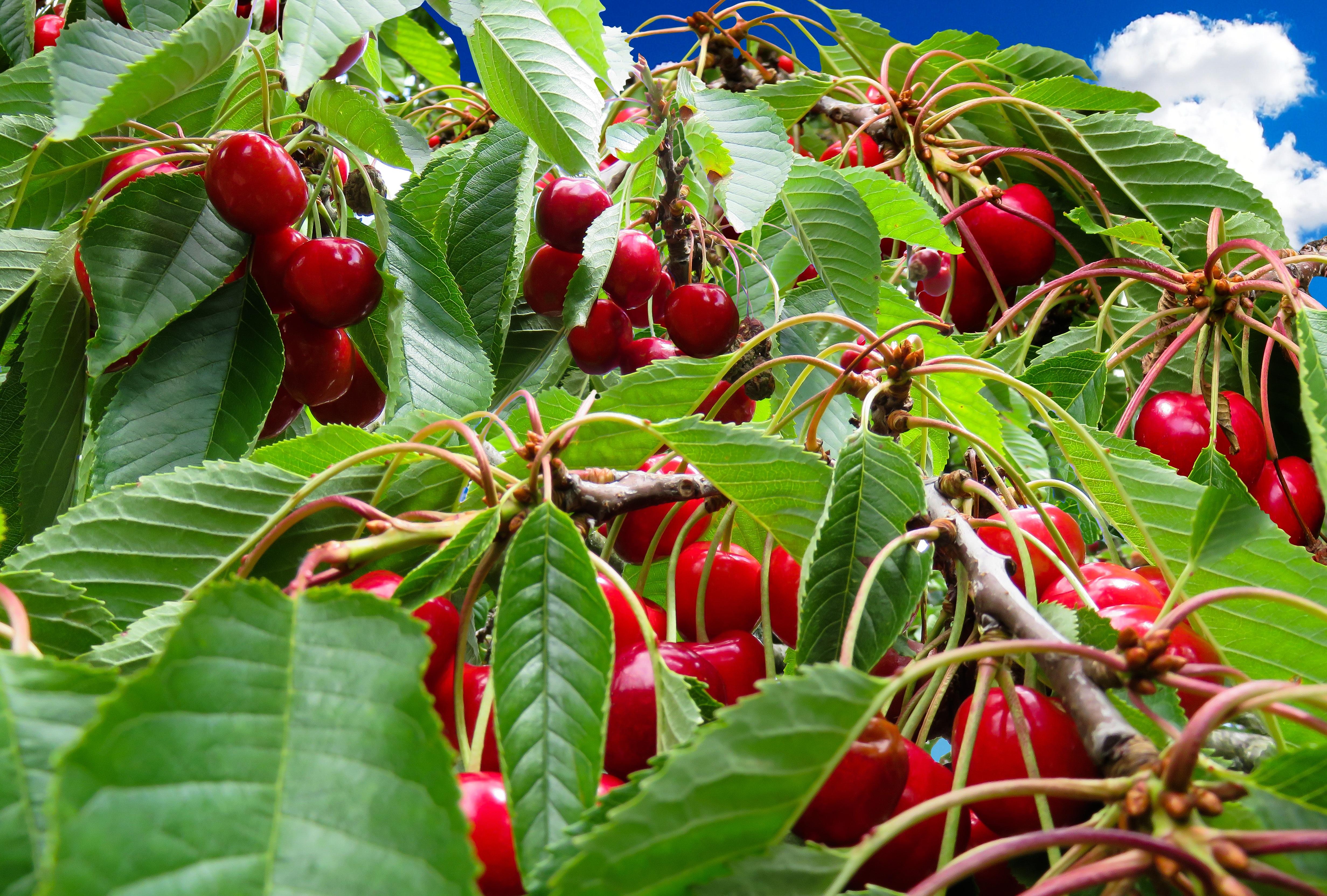 Fotos gratis rbol rama fruta flor p rpura verano for Arbol rojo jardin