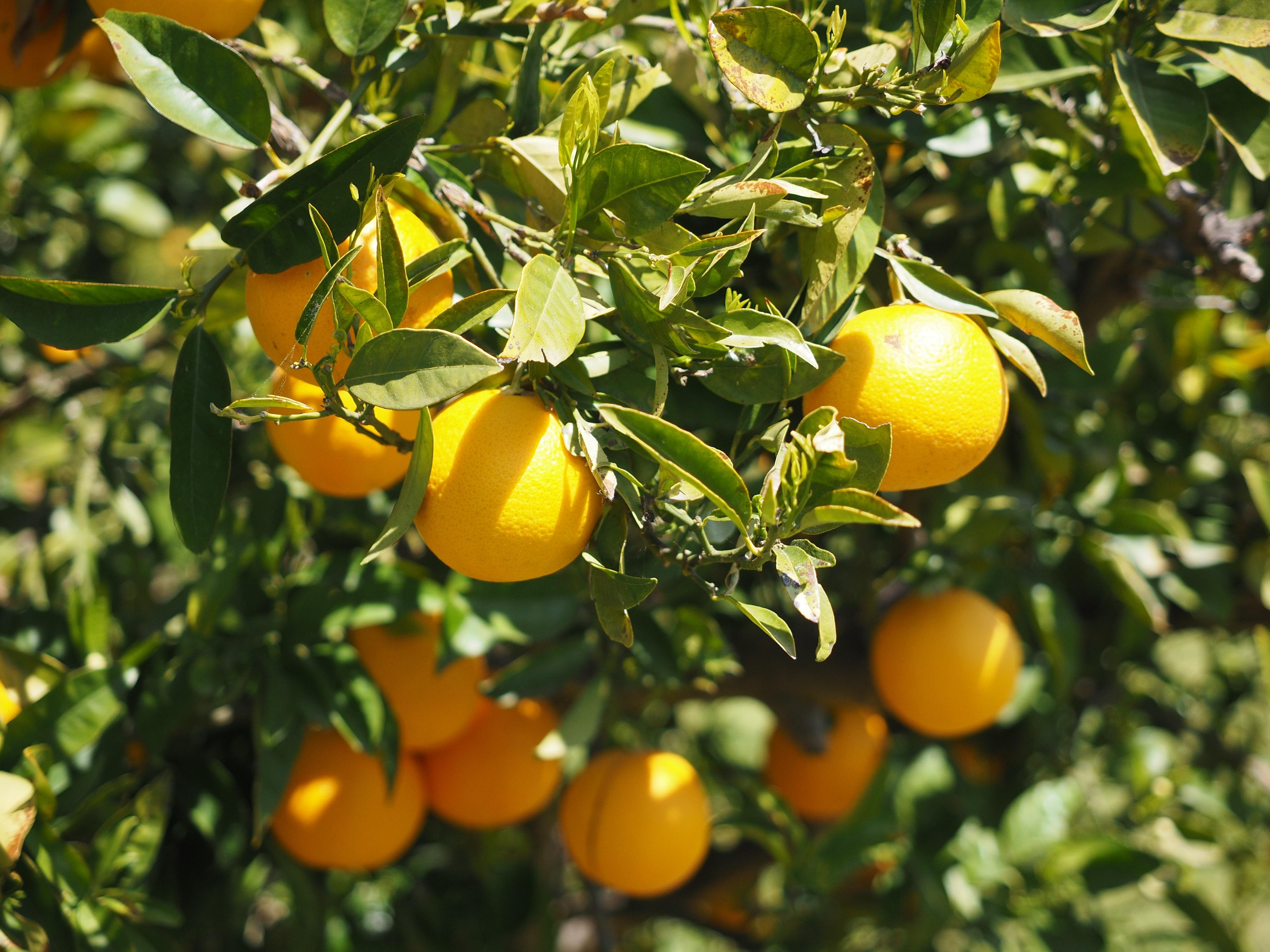 Free Images Branch Flower Summer Ripe Bush Foliage Orange Tree Food Mediterranean Produce Healthy Flora Delicious Aesthetic Tropical Fruit