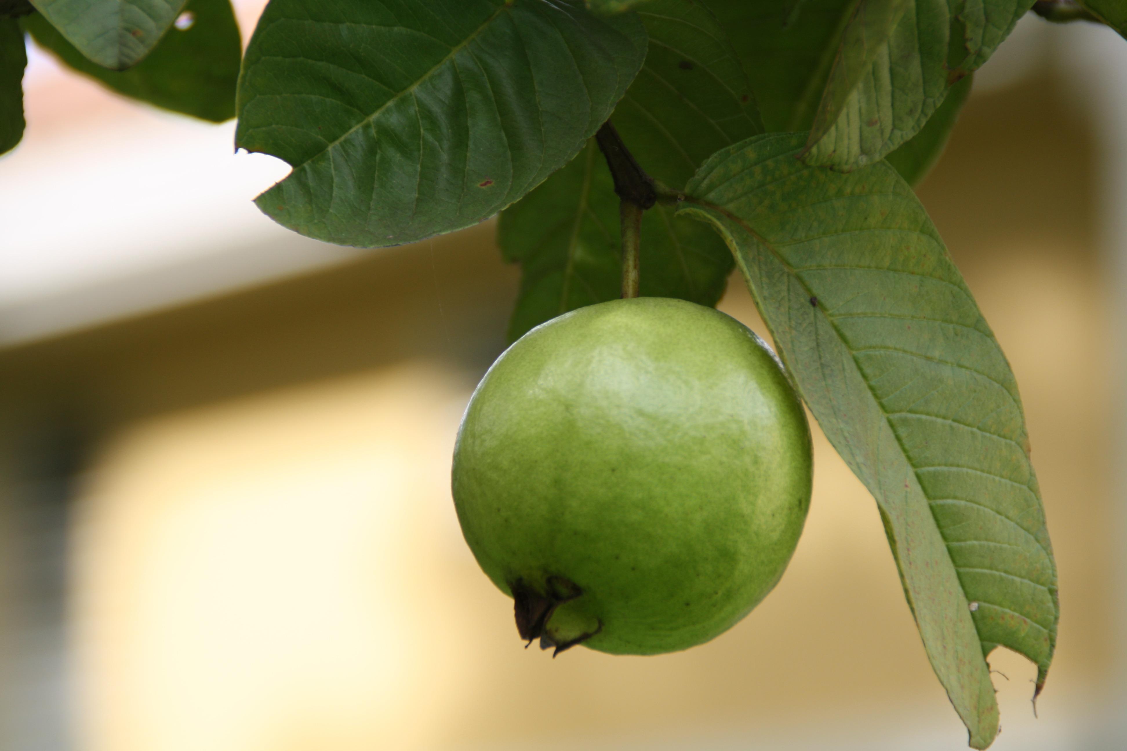 free images tree branch fruit sweet leaf flower food