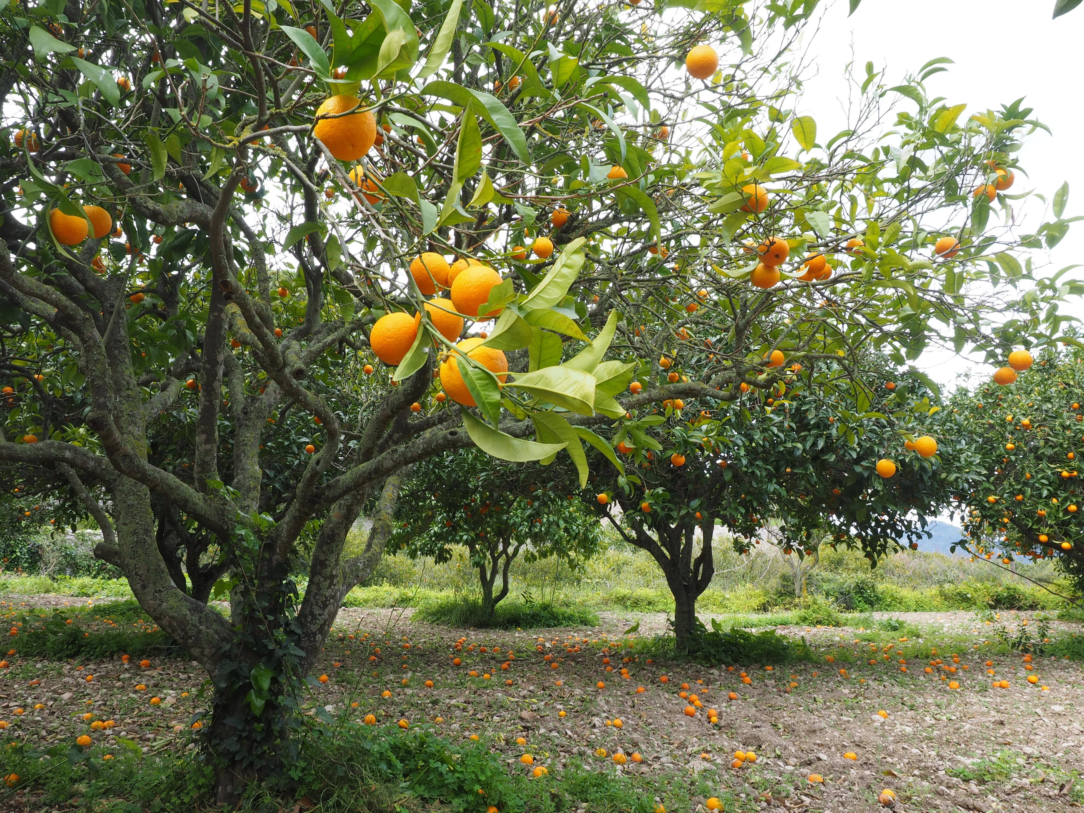 Tree Branch Plant Fruit Sweet Leaf Flower Orchard Summer Ripe Bush Orange Food Mediterranean