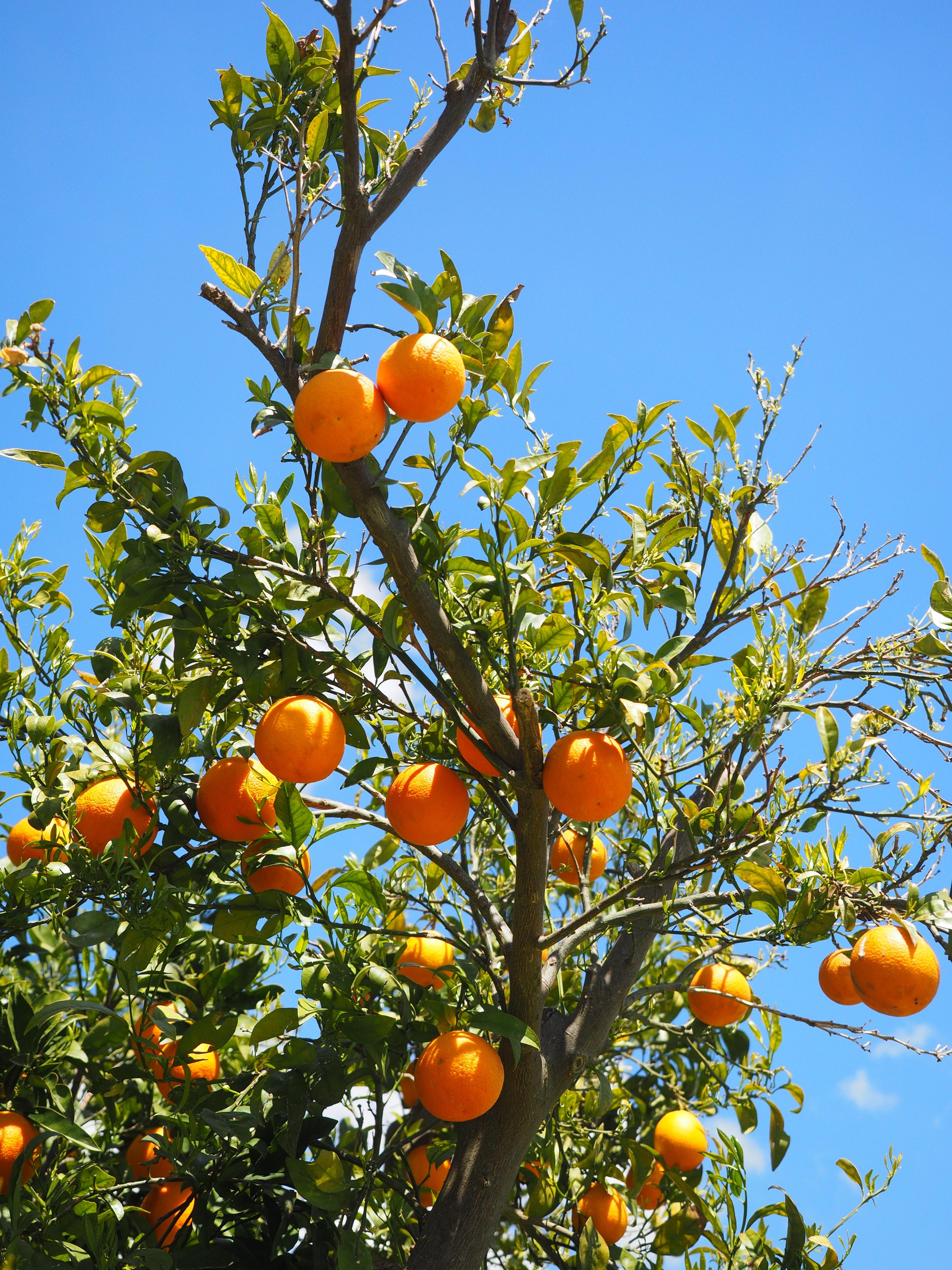 Tree Branch Plant Fruit Sweet Sunlight Flower Summer Ripe Bush Foliage Orange Food Mediterranean