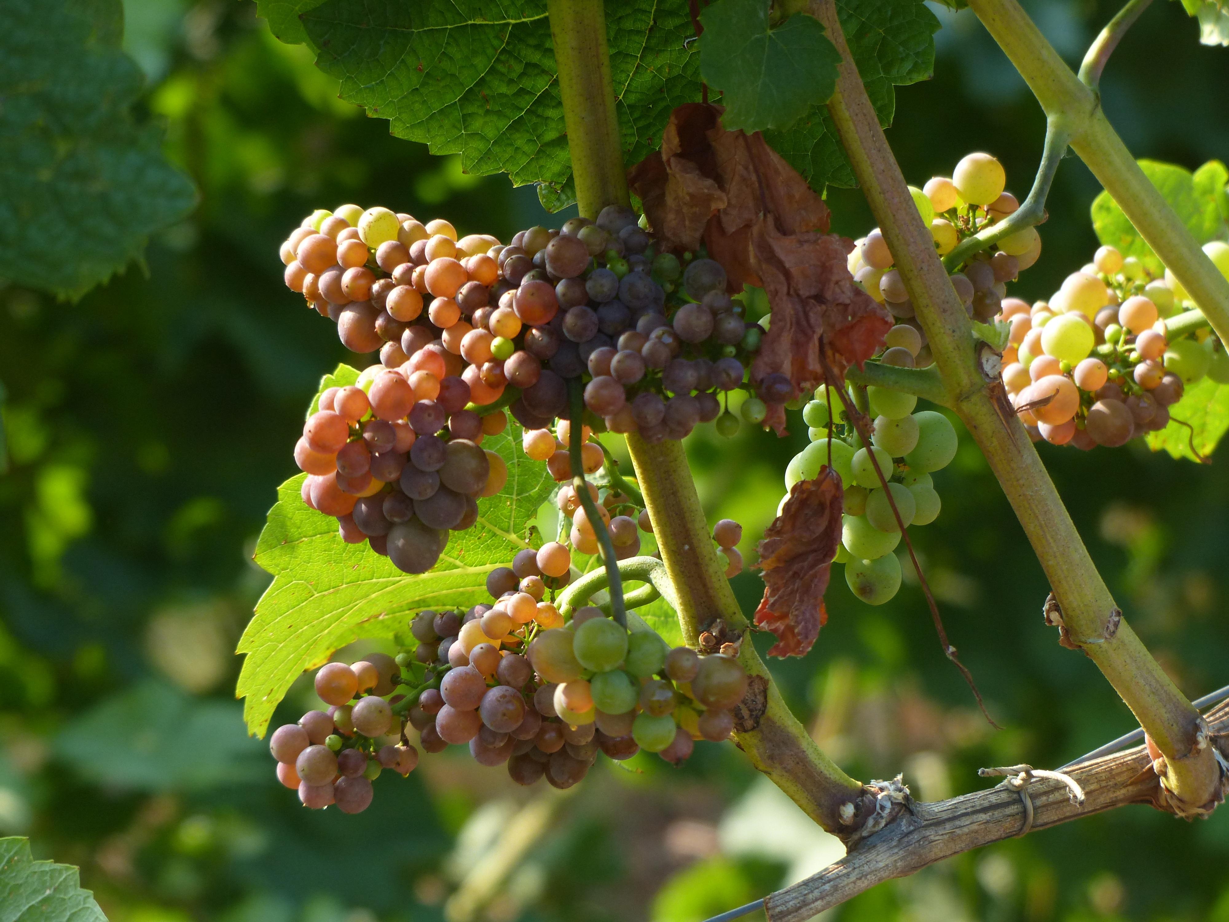 Фото и картинки виноградной лозы