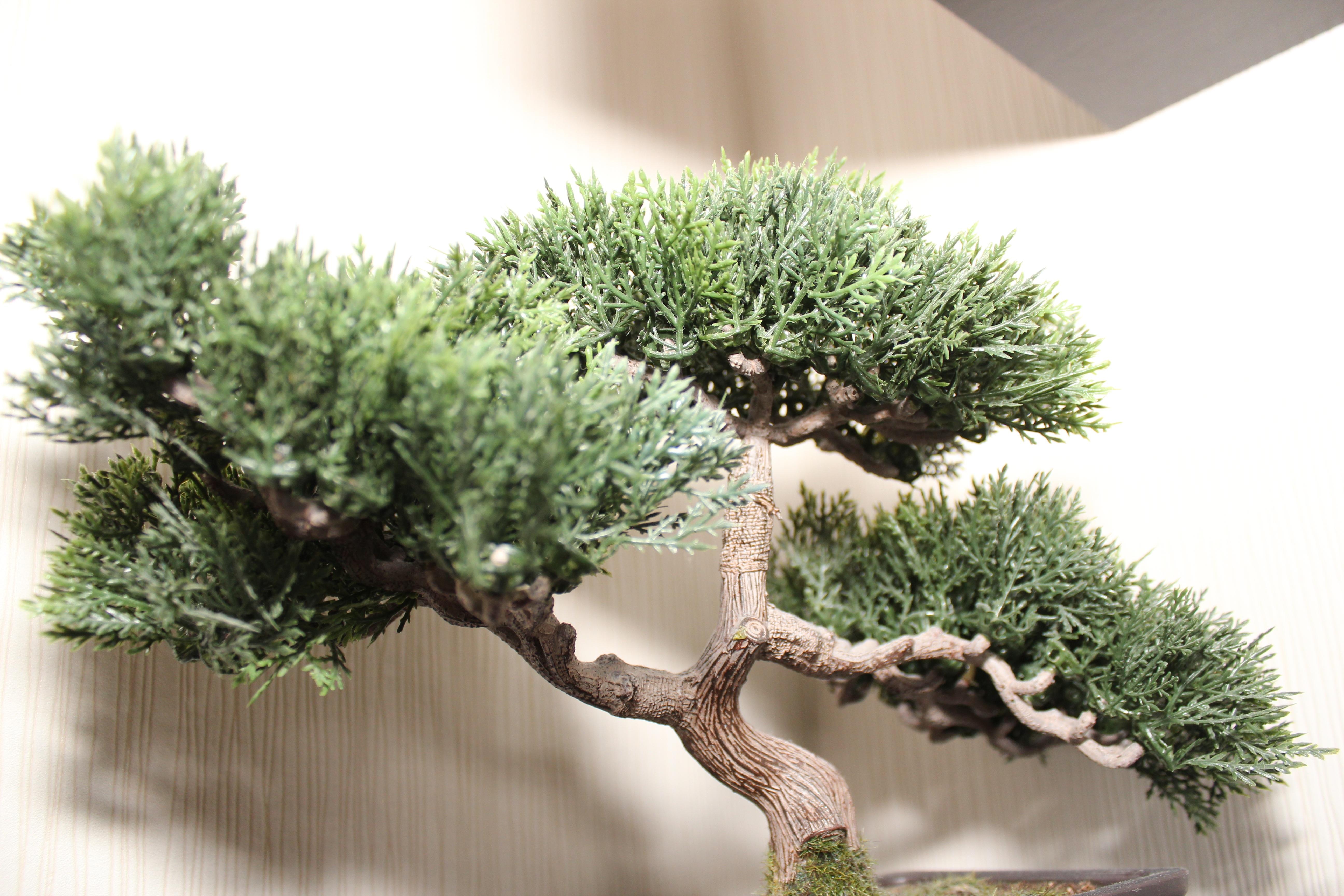 Kostenlose Foto Ast Grun Klein Japan Schliessen Topfpflanze