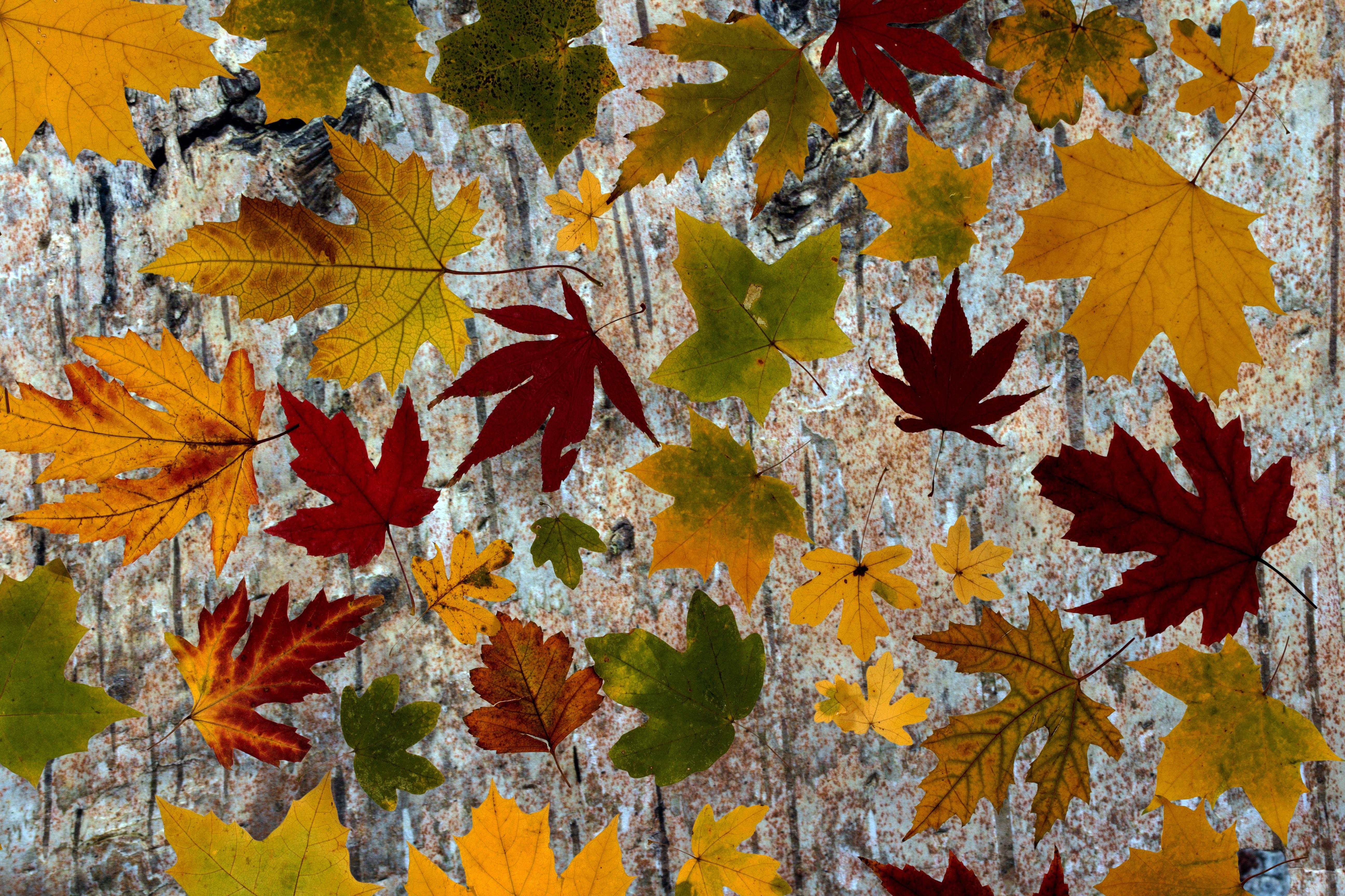 осень картинки кленовые листья картинки того