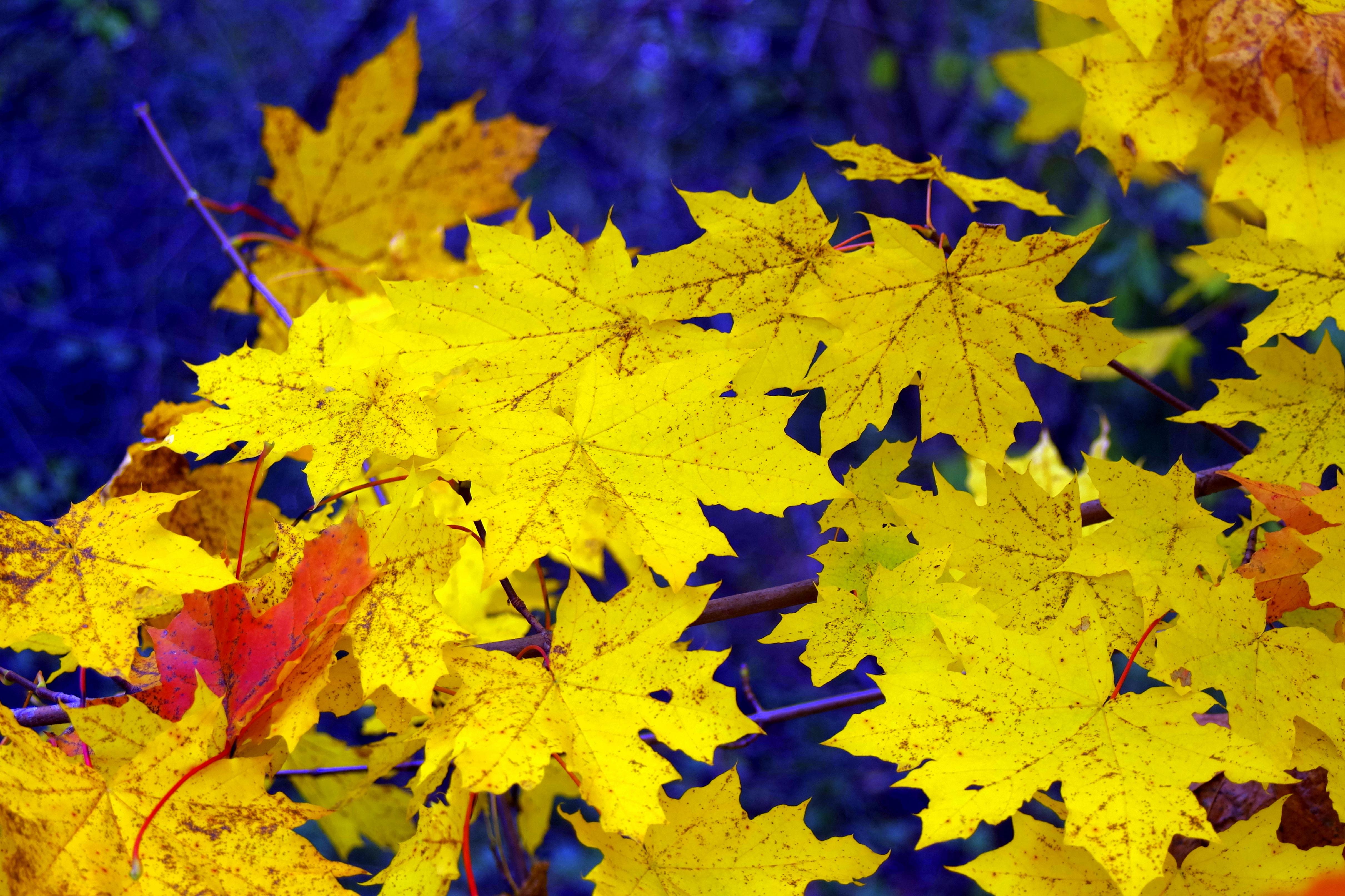 Free Images Branch Flower Glow Yellow Season Maple Tree