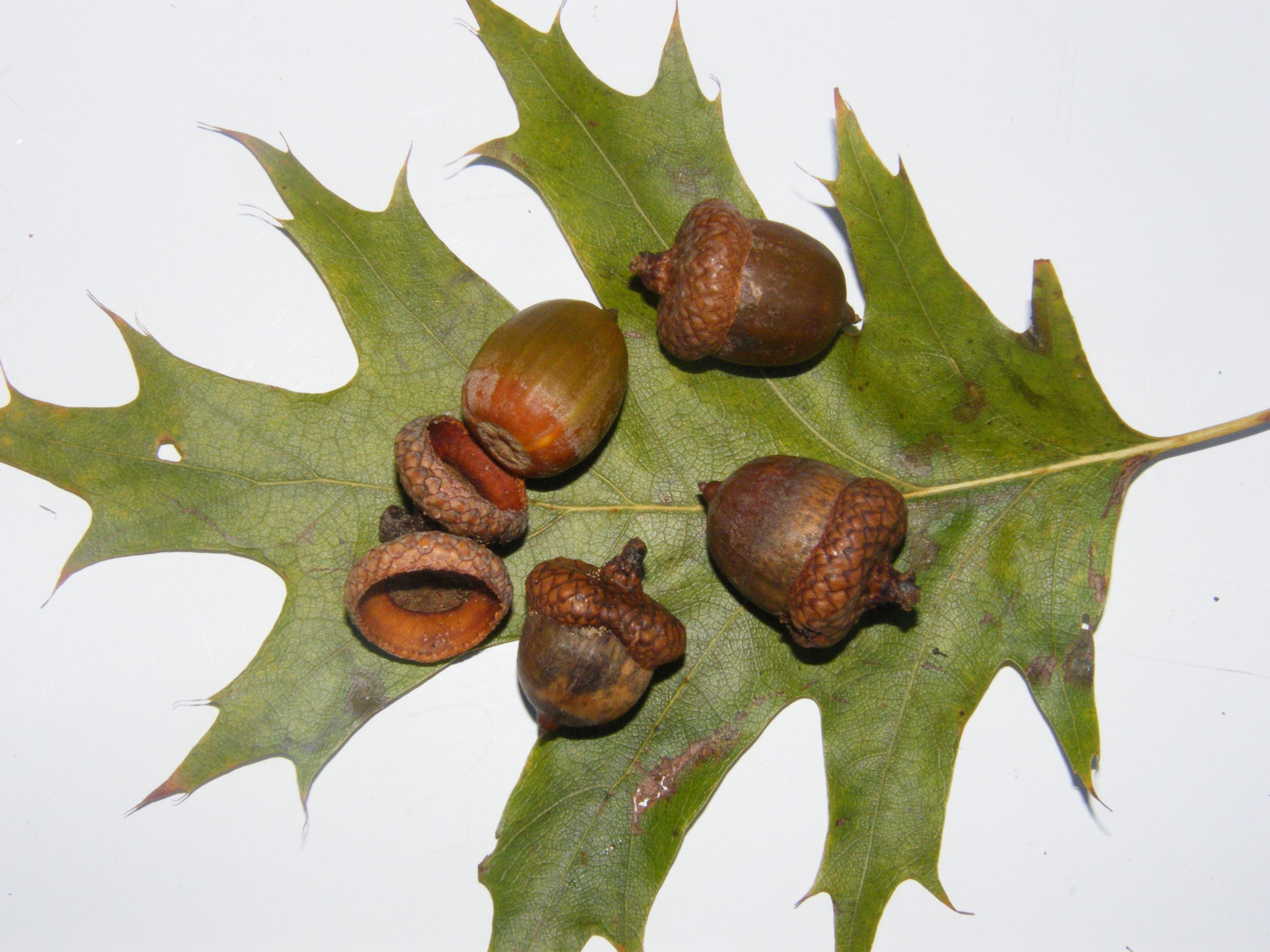 hình ảnh : chi nhánh, thực vật, Lá, Trang trí, món ăn, Sản xuất, Mùa thu,  nâu, Thực vật học, Hệ thực vật, Acorn, Trái cây, Cây sồi, Acorns, hạt dẻ,  ...