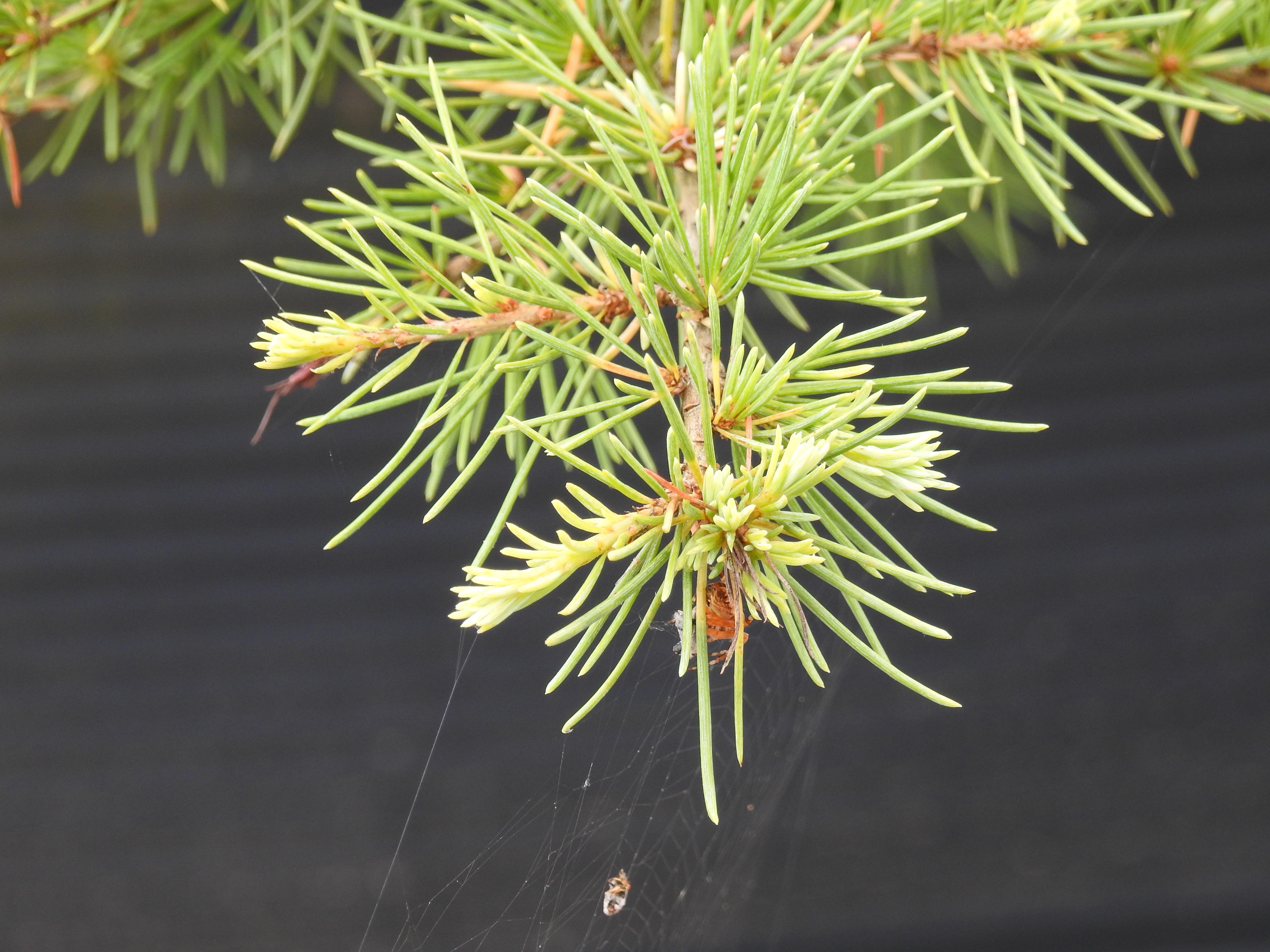 Kugelbaum immergr n swalif - Baum vorgarten immergrun ...