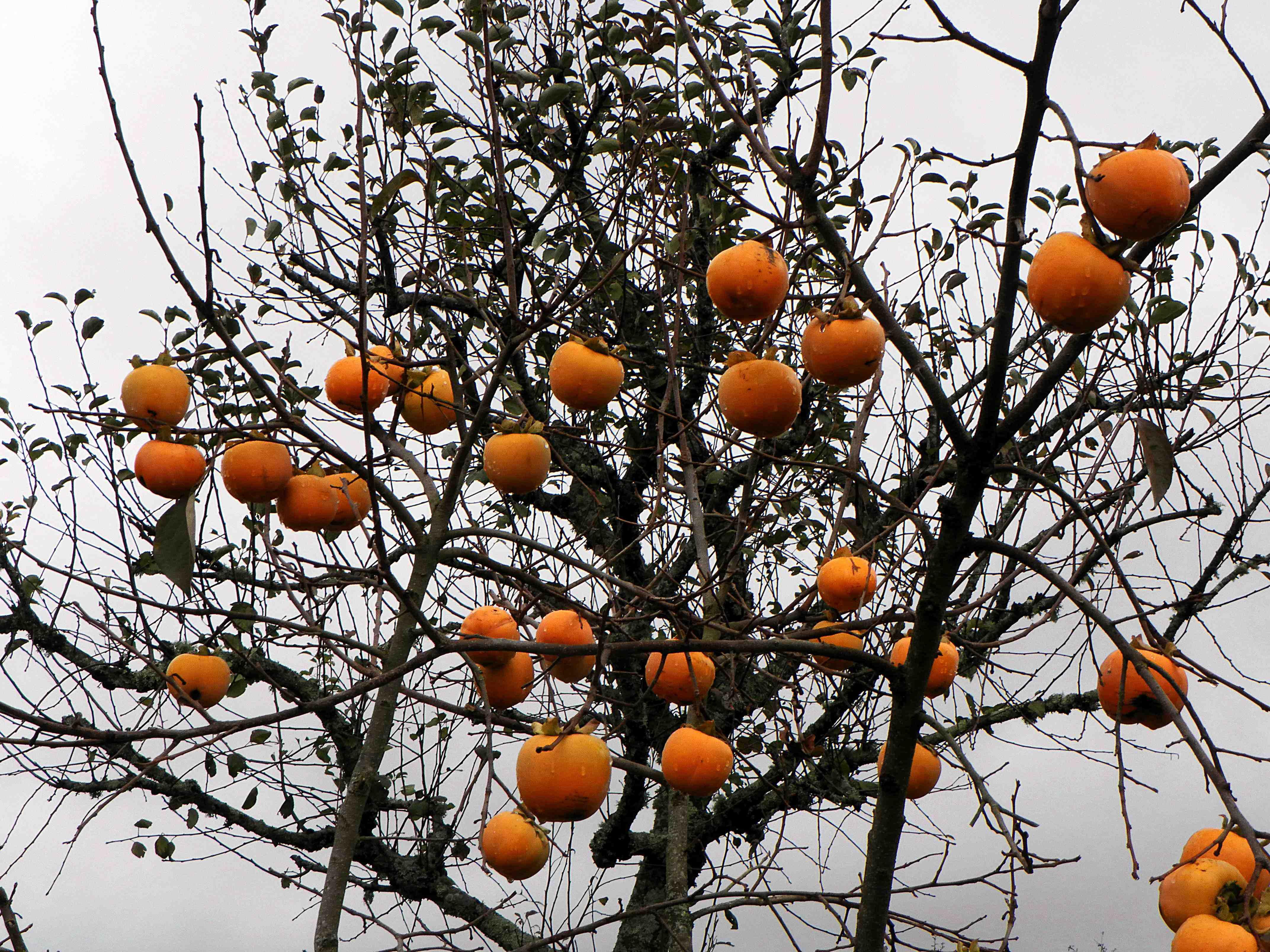 Фото хурма дерево сочи