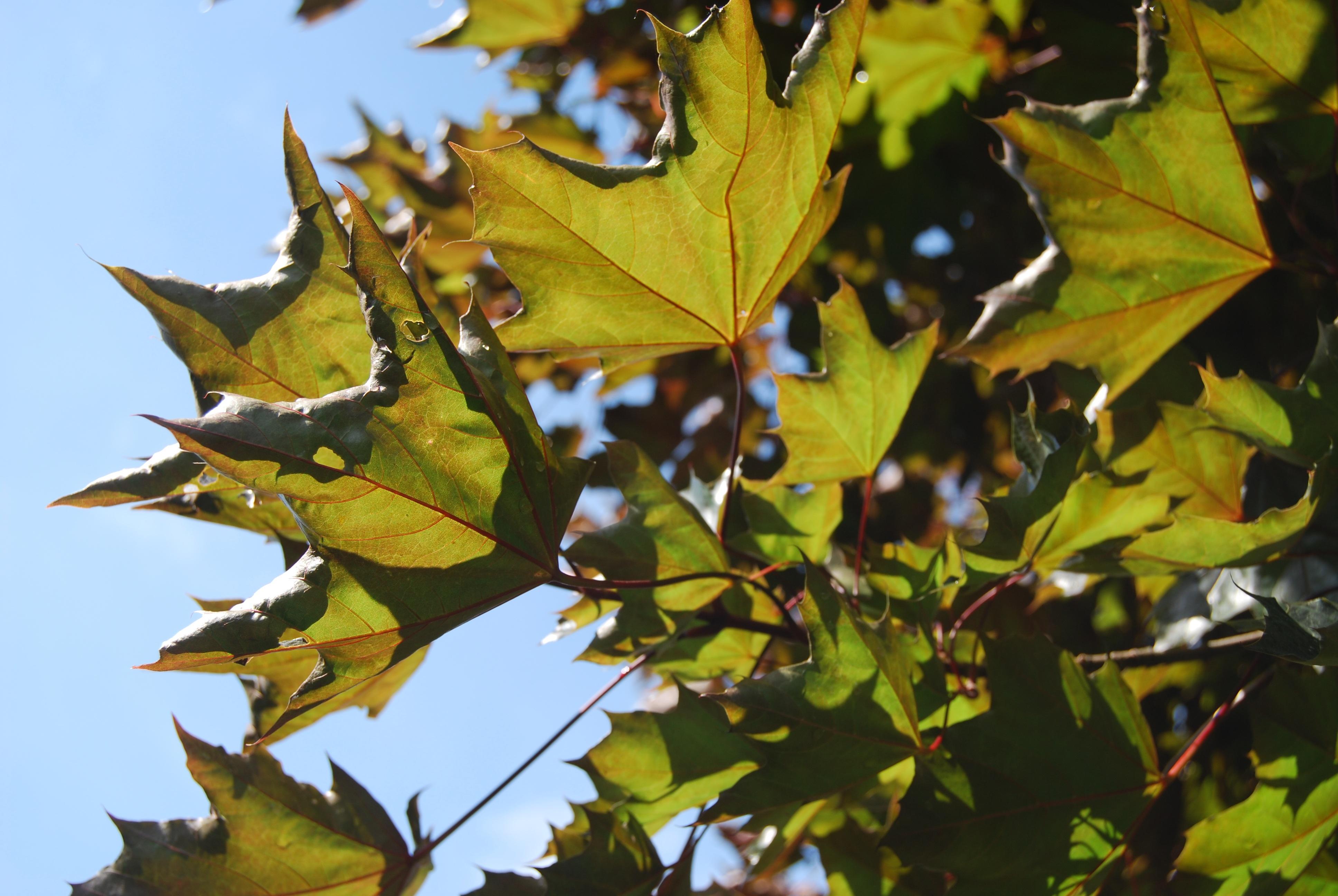 images gratuites arbre branche fleur vert l 39 automne jaune saison rable feuille d. Black Bedroom Furniture Sets. Home Design Ideas