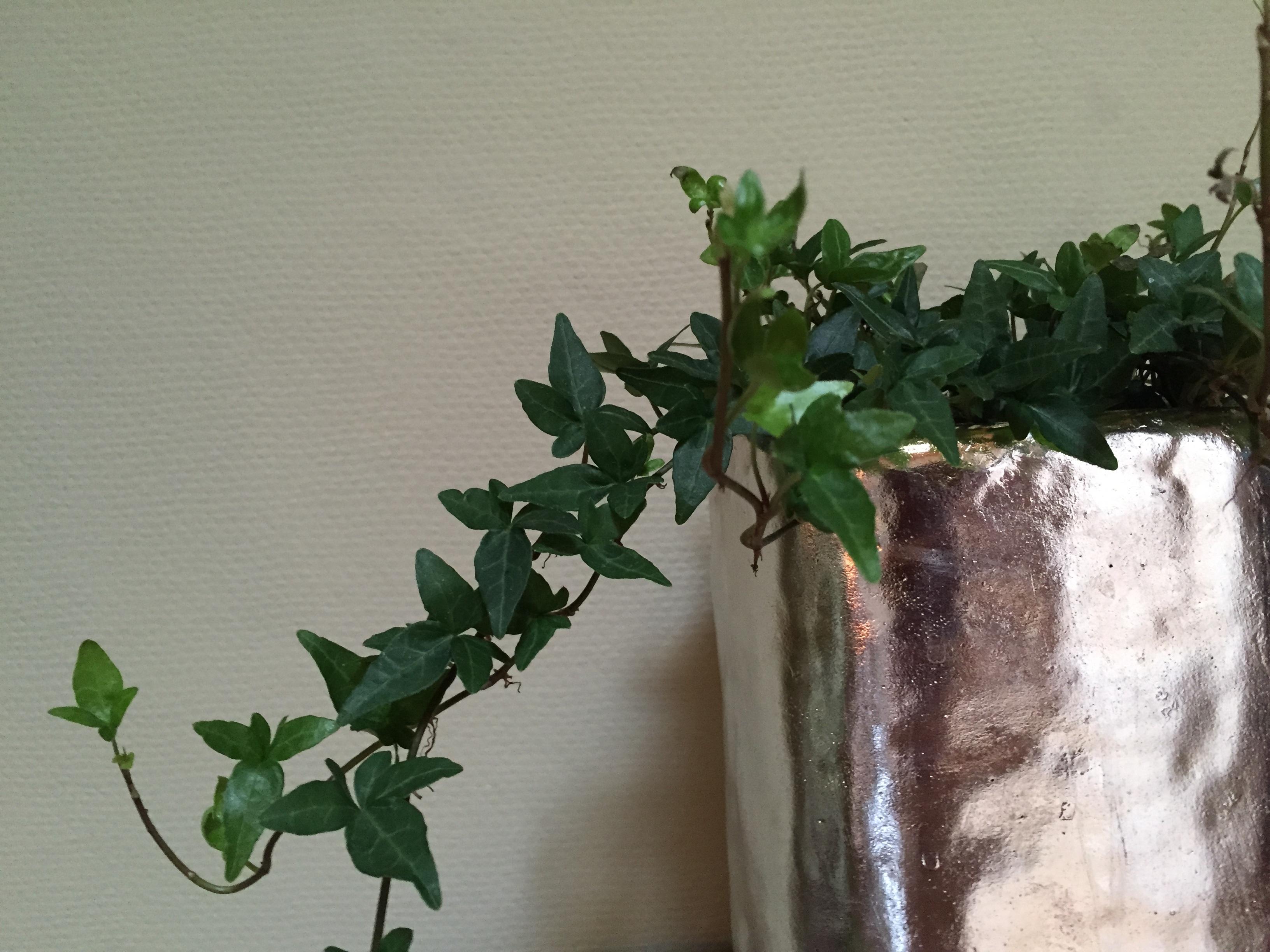 Efeu Zimmerpflanze kostenlose foto baum ast blatt blume grün produzieren efeu