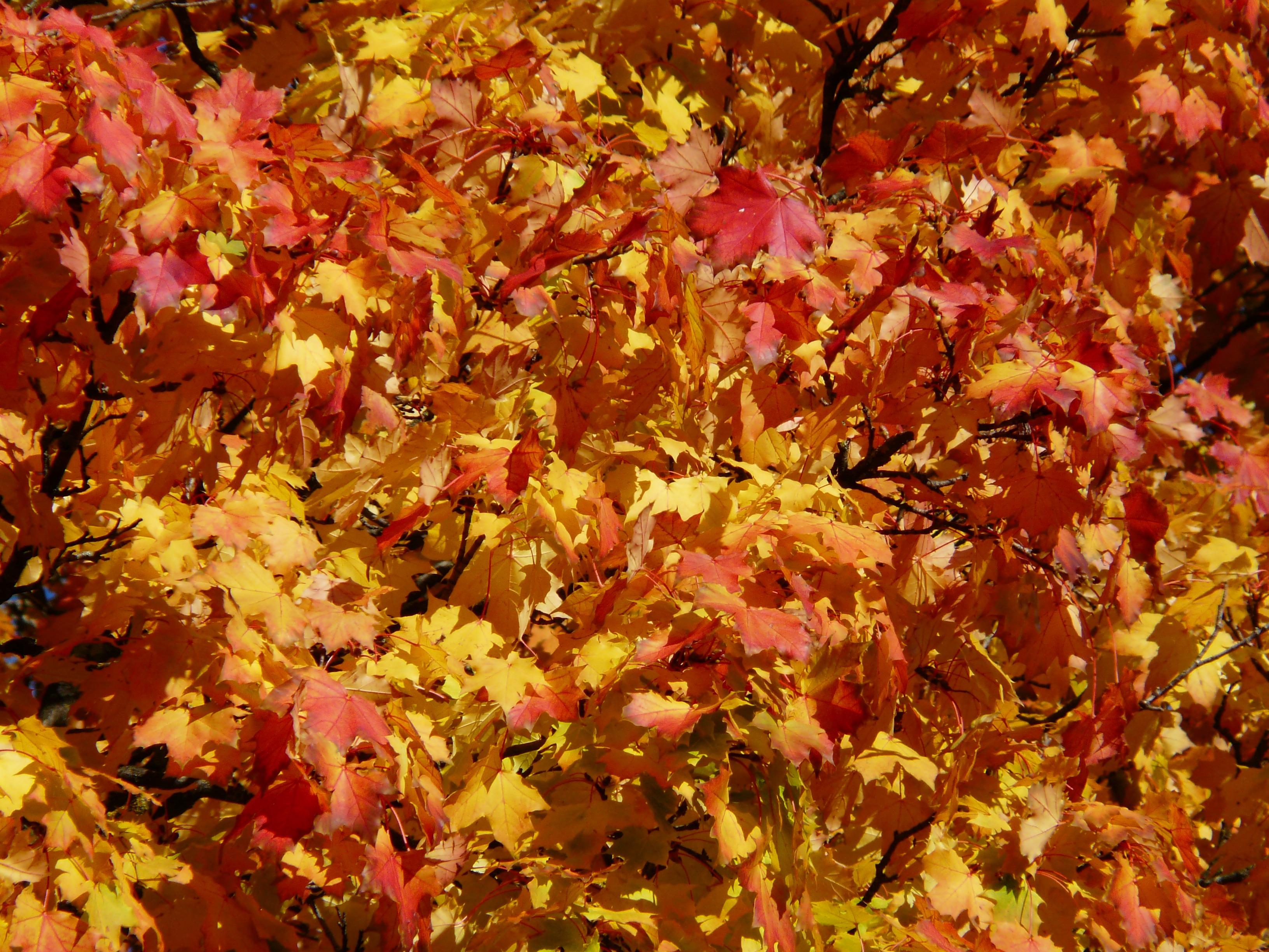 Fotoğraf Ağaç şube Yaprak çiçek Taçyaprağı Altın Sonbahar